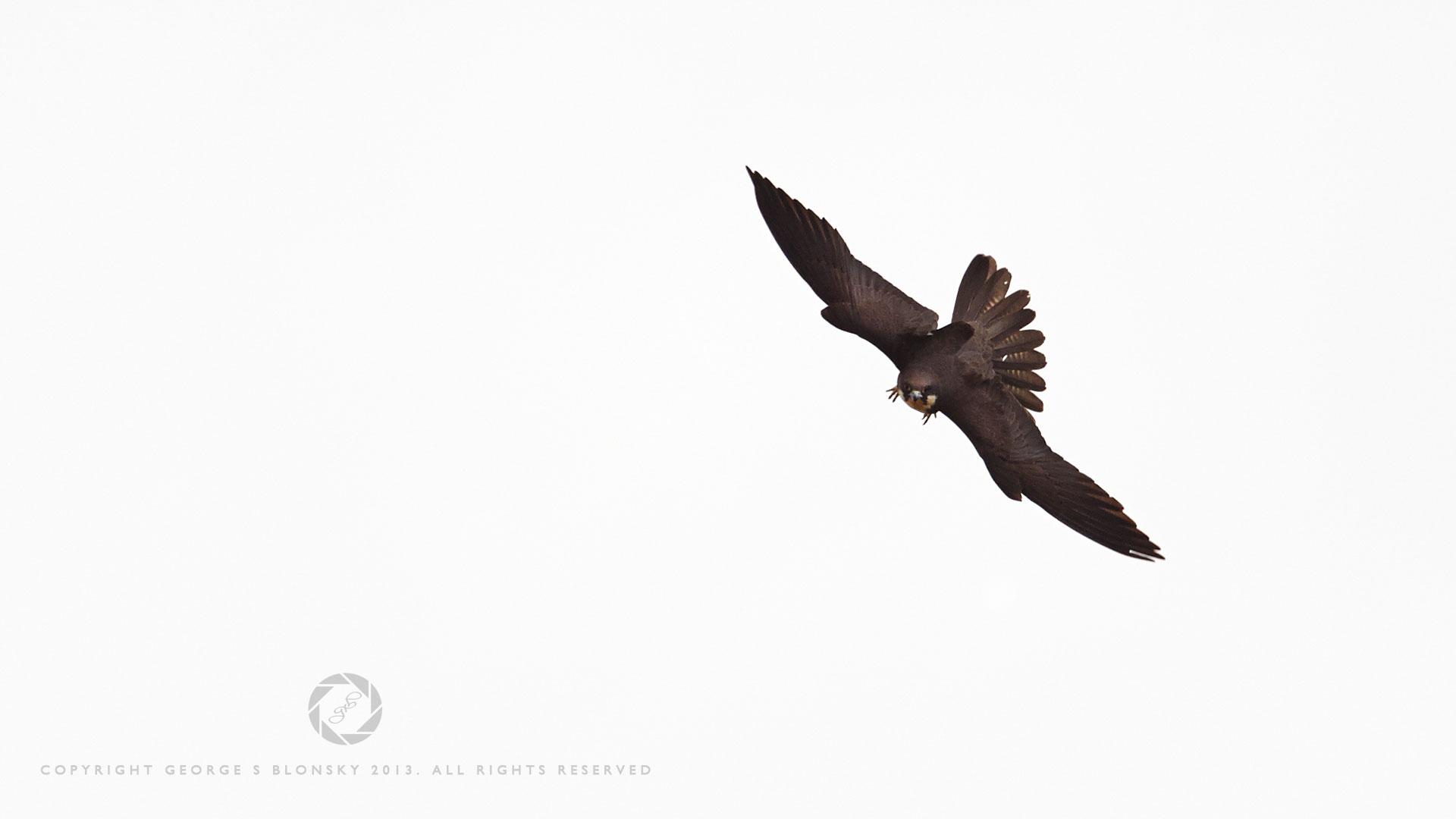 Eleonora's Falcon in flight at Lake Kerkini