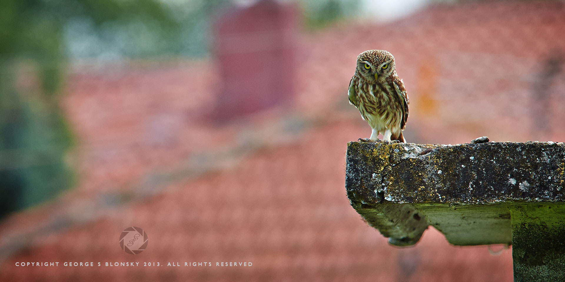 Little Owl on a rooftop in the village of Kerkini