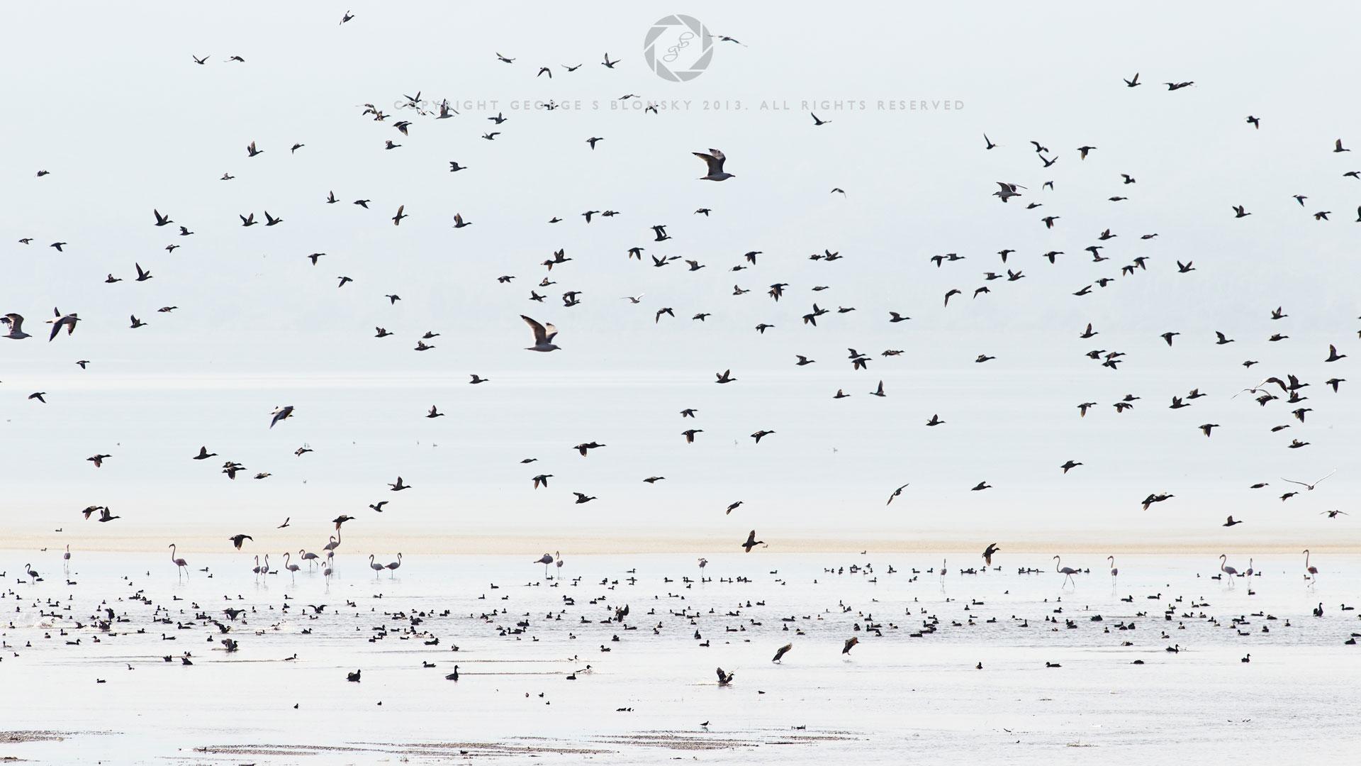 Waterbirds in flight over Lake Kerkini