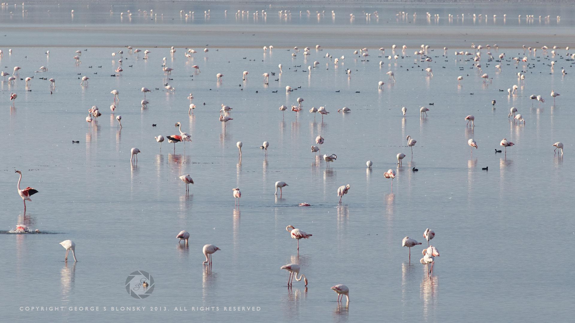 Flamingos feeding on Lake Kerkini