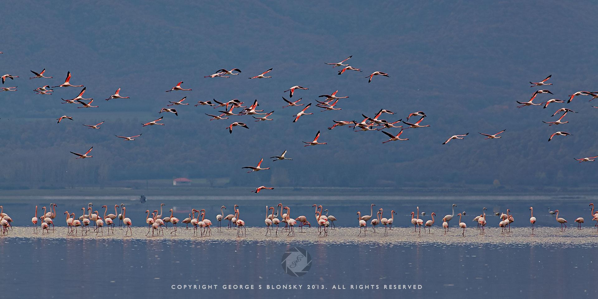 Flamingos in flight over Lake Kerkini