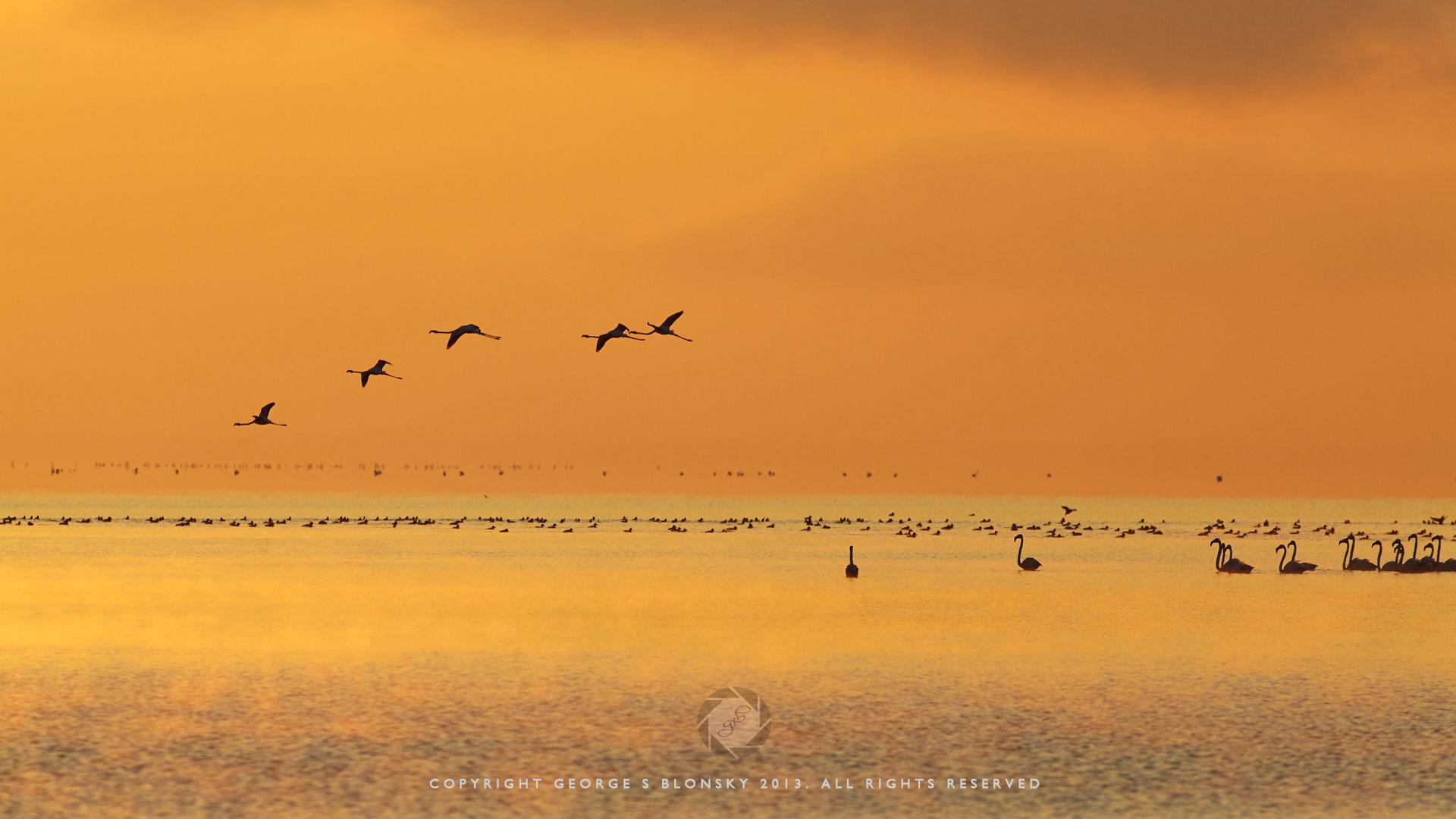 Flamingos in the orange dawn light at Lake Kerkini