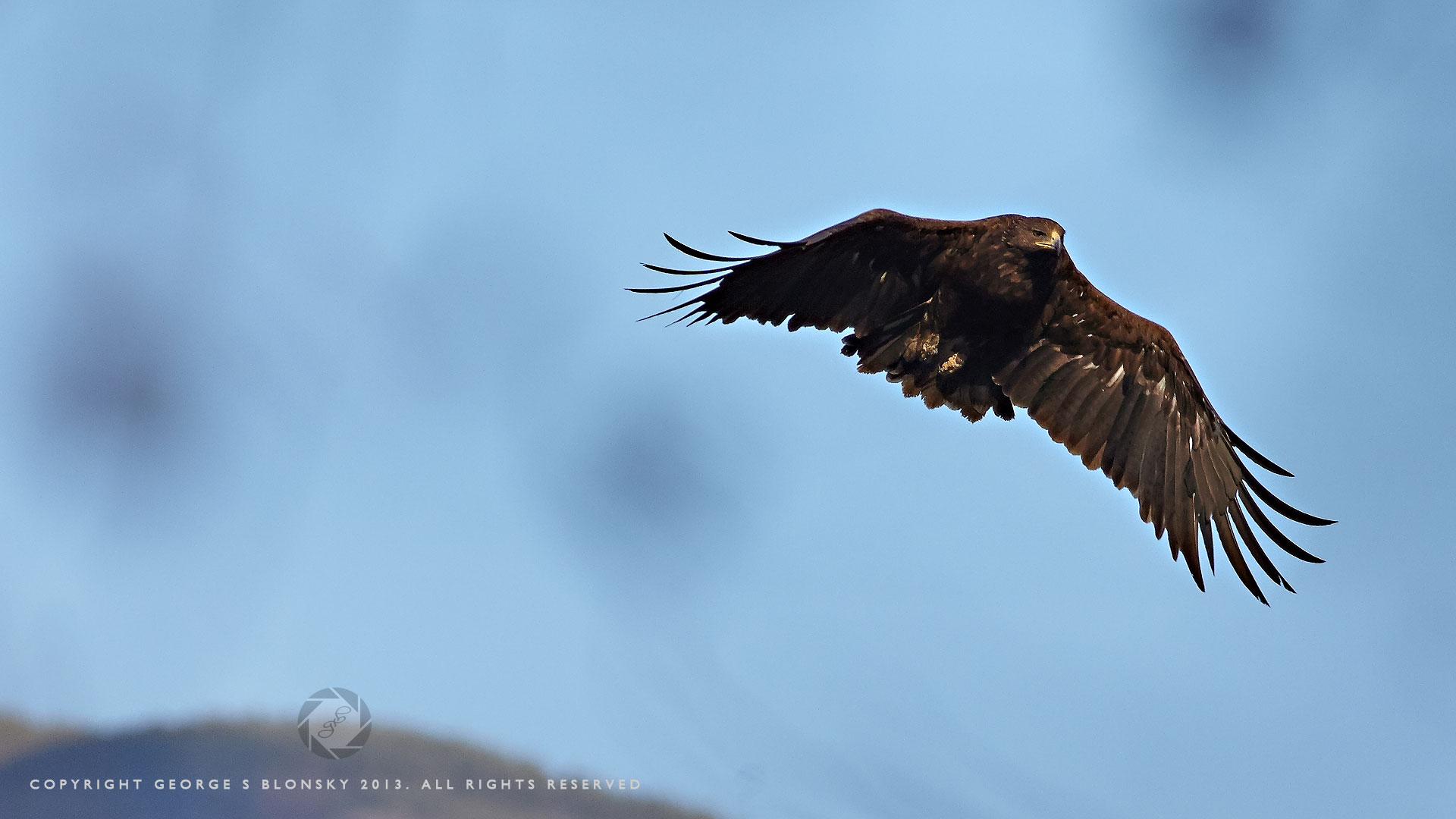 (Greater) Spotted Eagle photographed in flight at Lake Kerkini