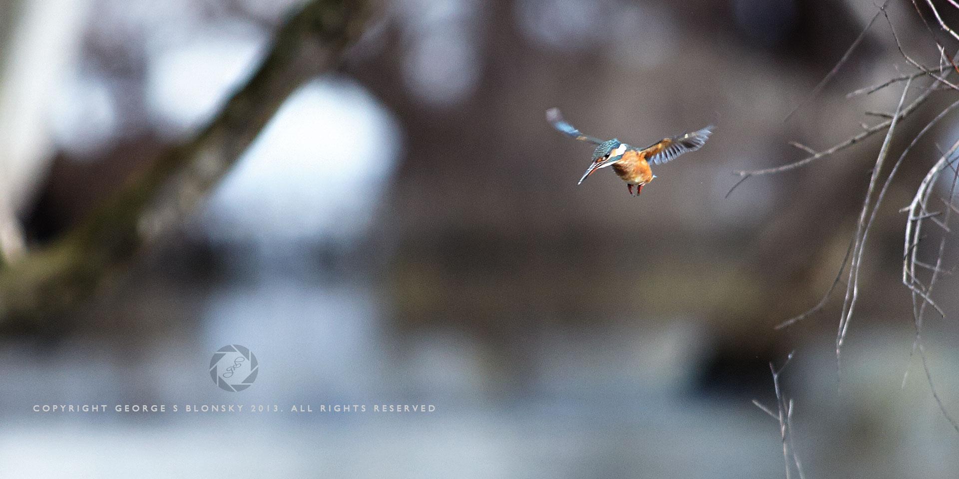 Kingfisher in flight at Lake Kerkini