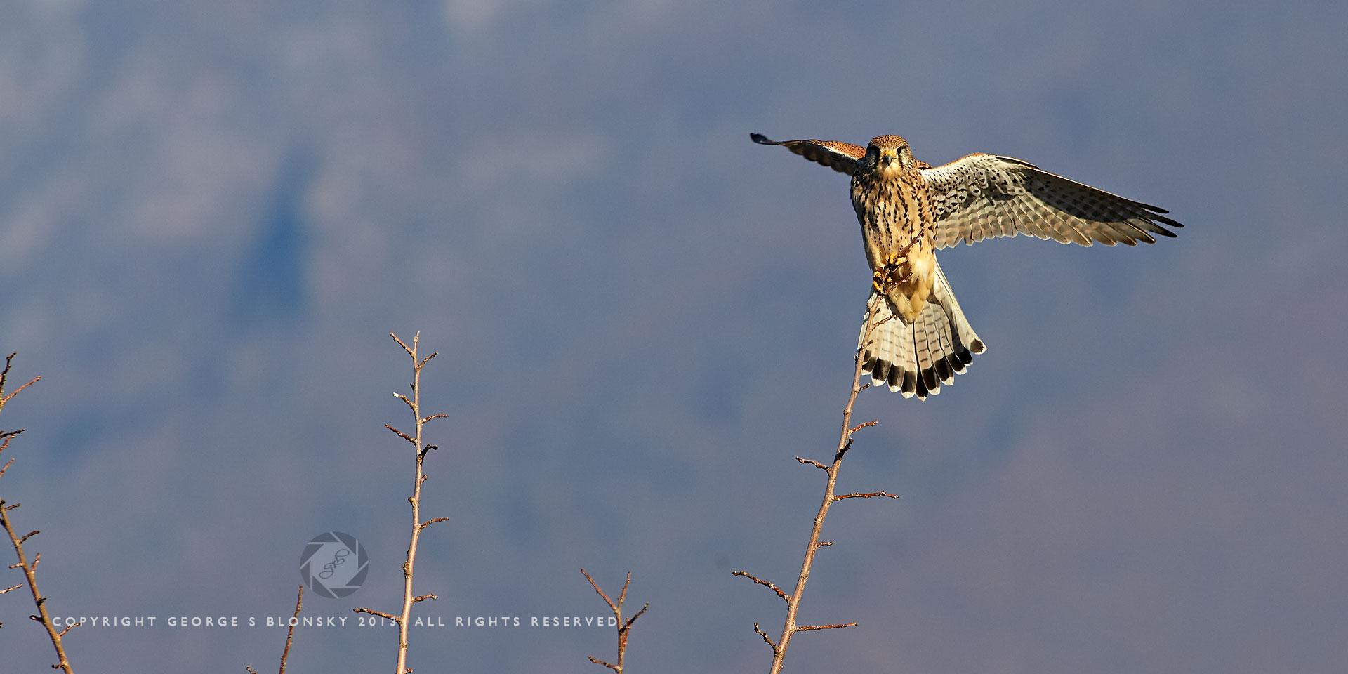 Kestrel landing on a tree at Lake Kerkini
