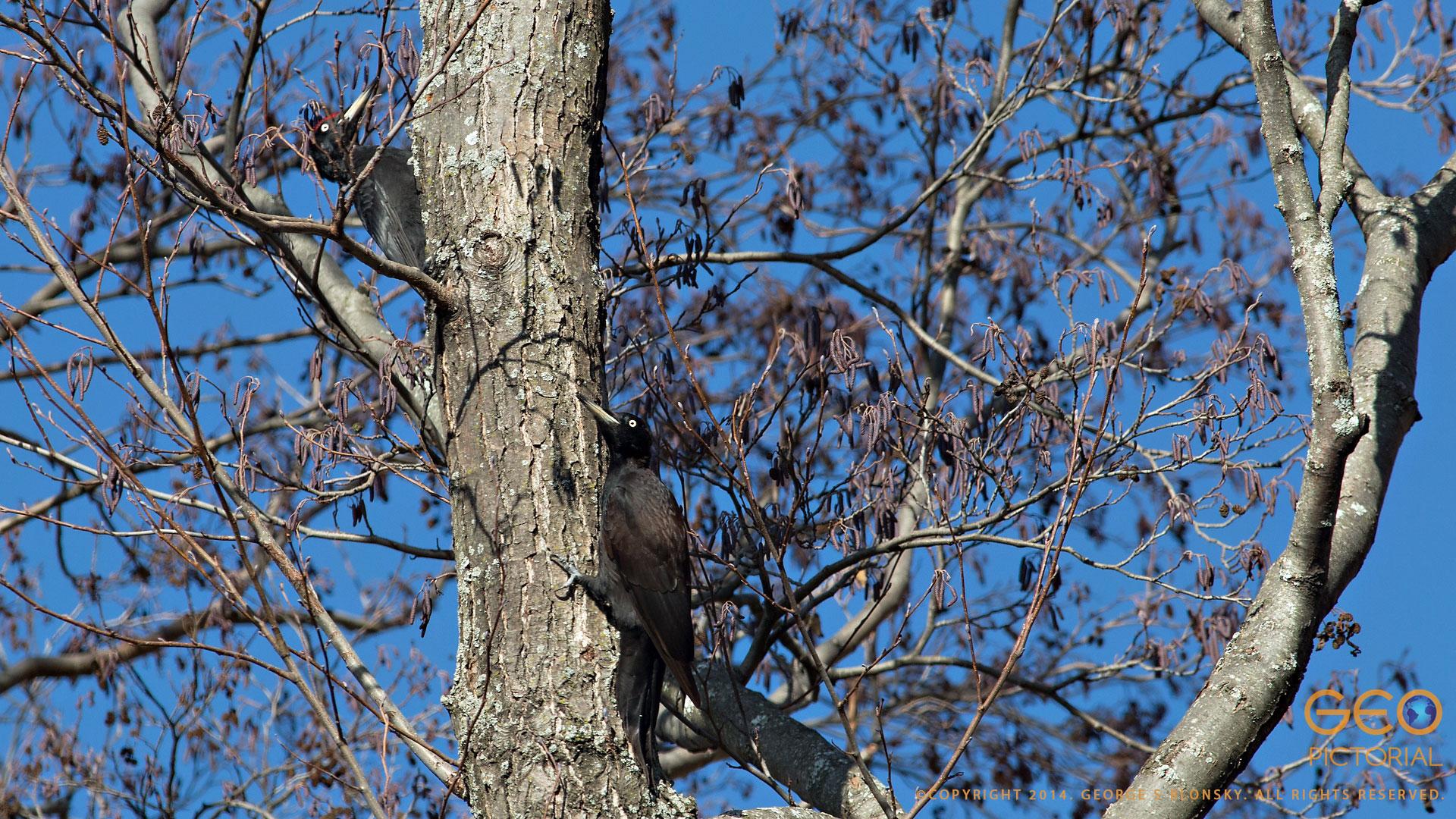 Black Woodpeckers