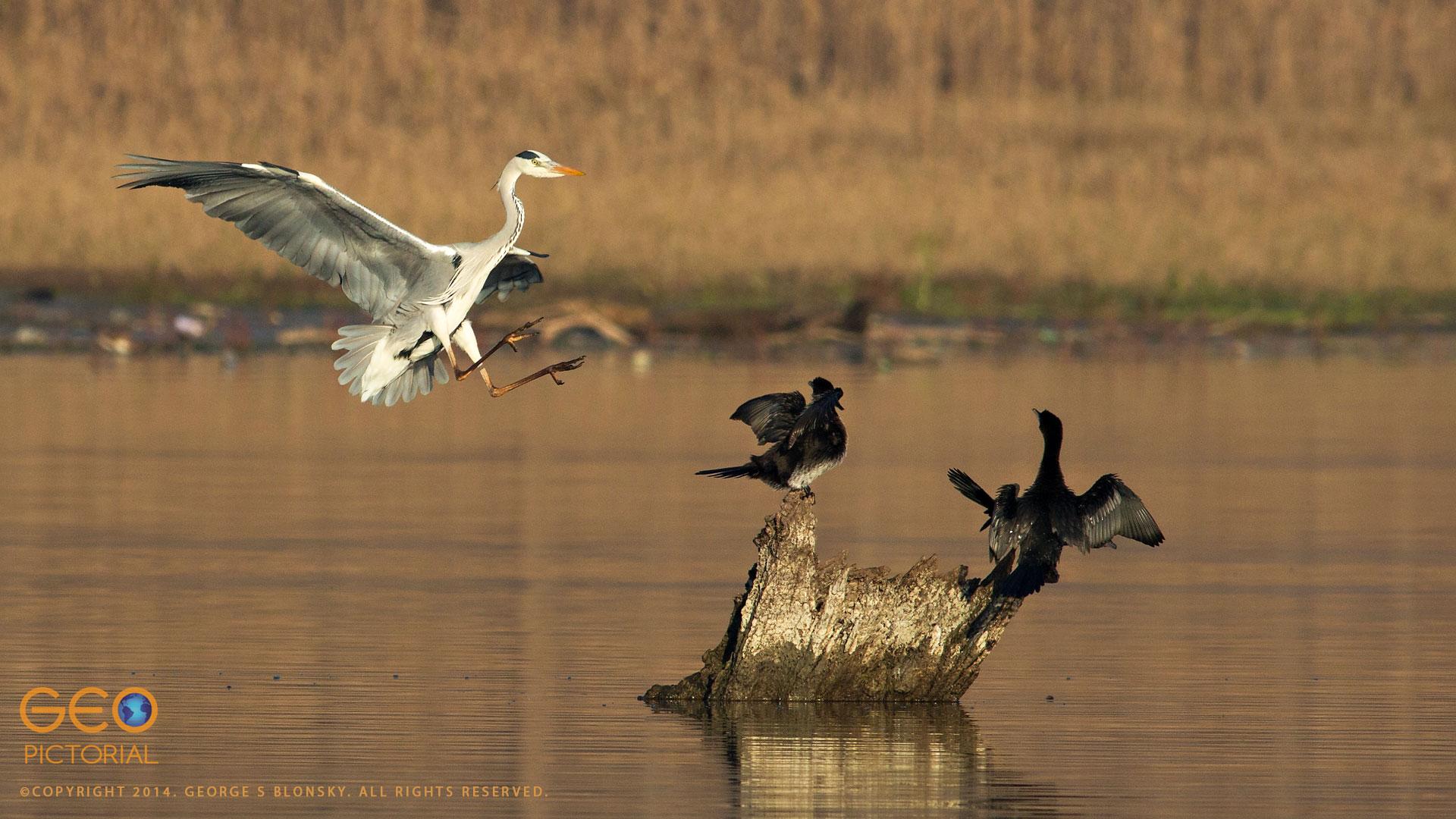 Grey Heron & Pygmy Cormorants
