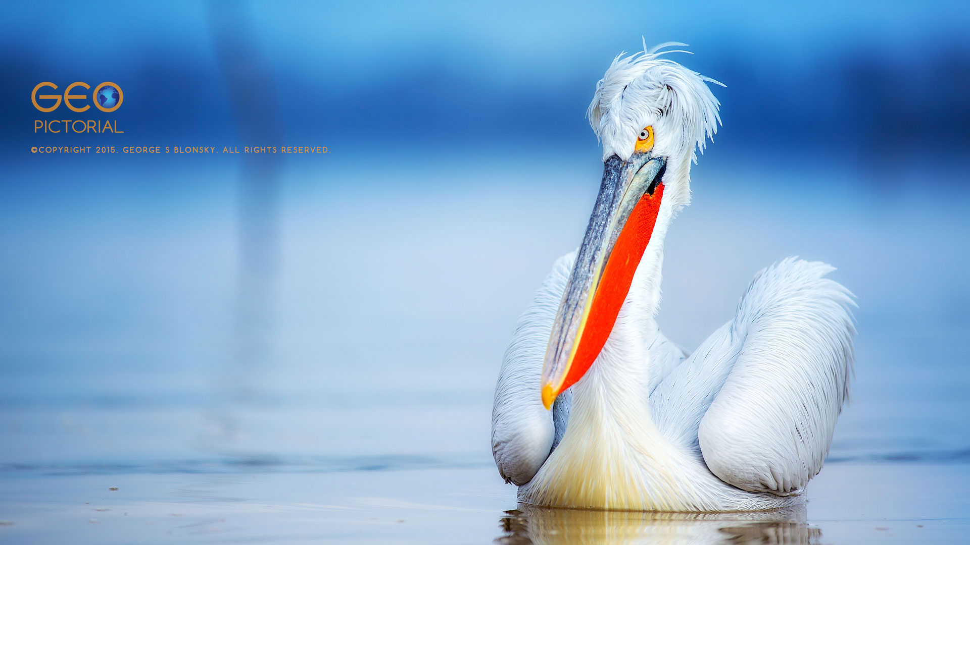 Dalmatian Pelican at Lake Kerkini.