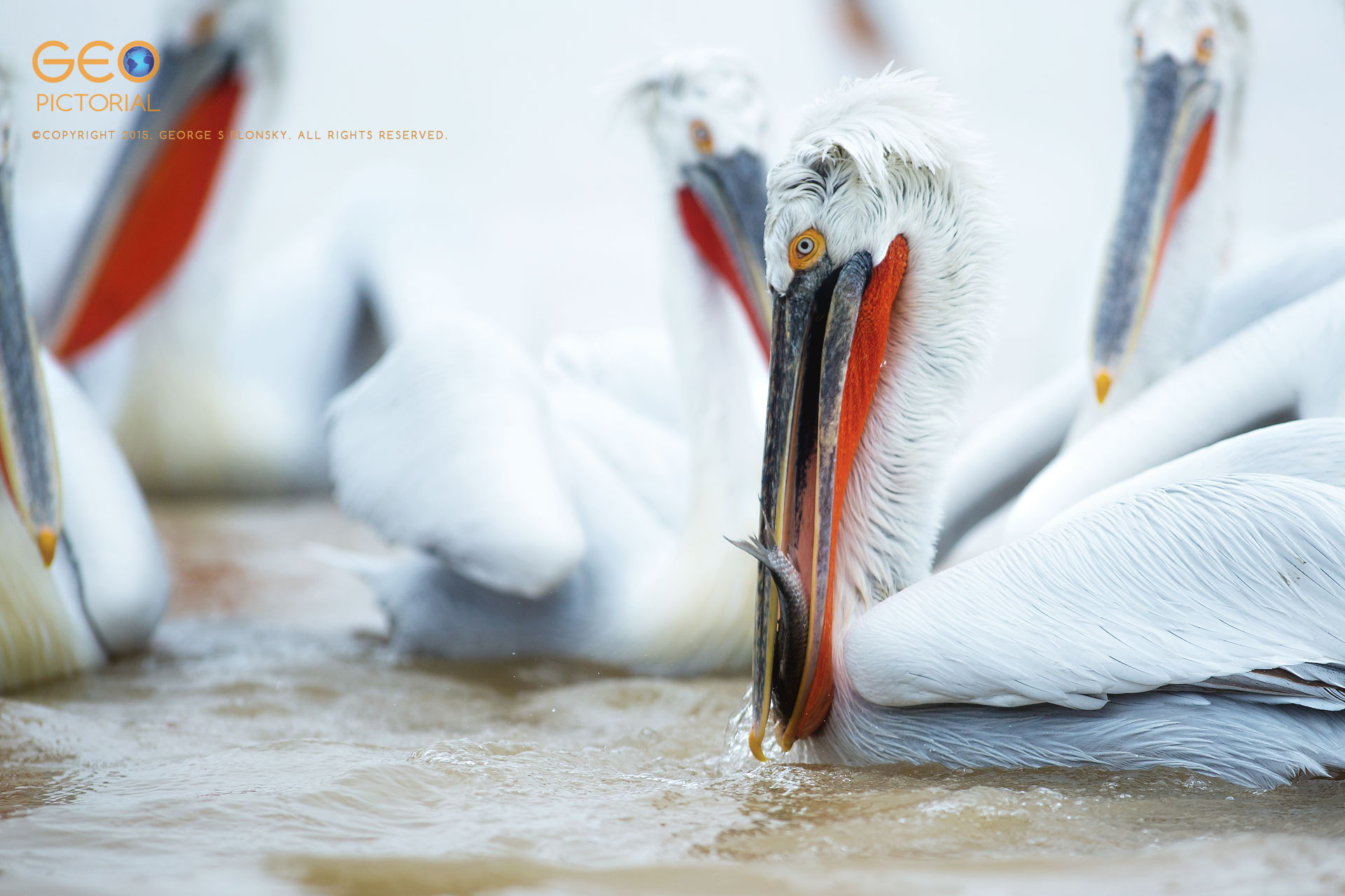 Dalmatian Pelican eating a fish