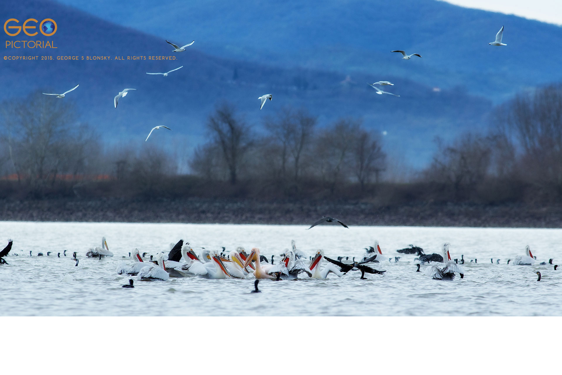 Dalmatian Pelicans, White Pelicans, Cormorants and Black-headed Gulls in a feeding frenzy over a school of fish