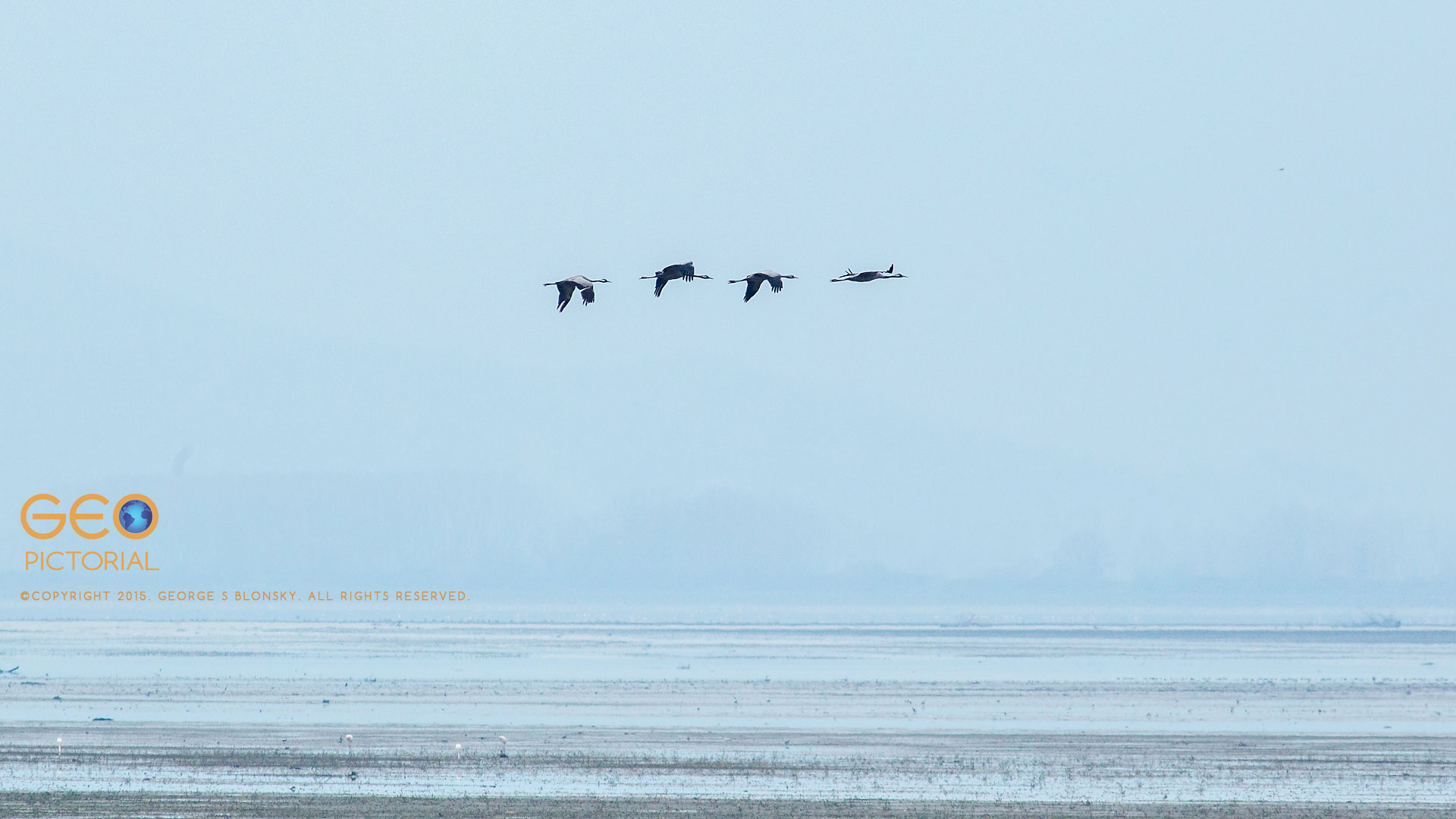 Common Cranes (Grus grus) in flight