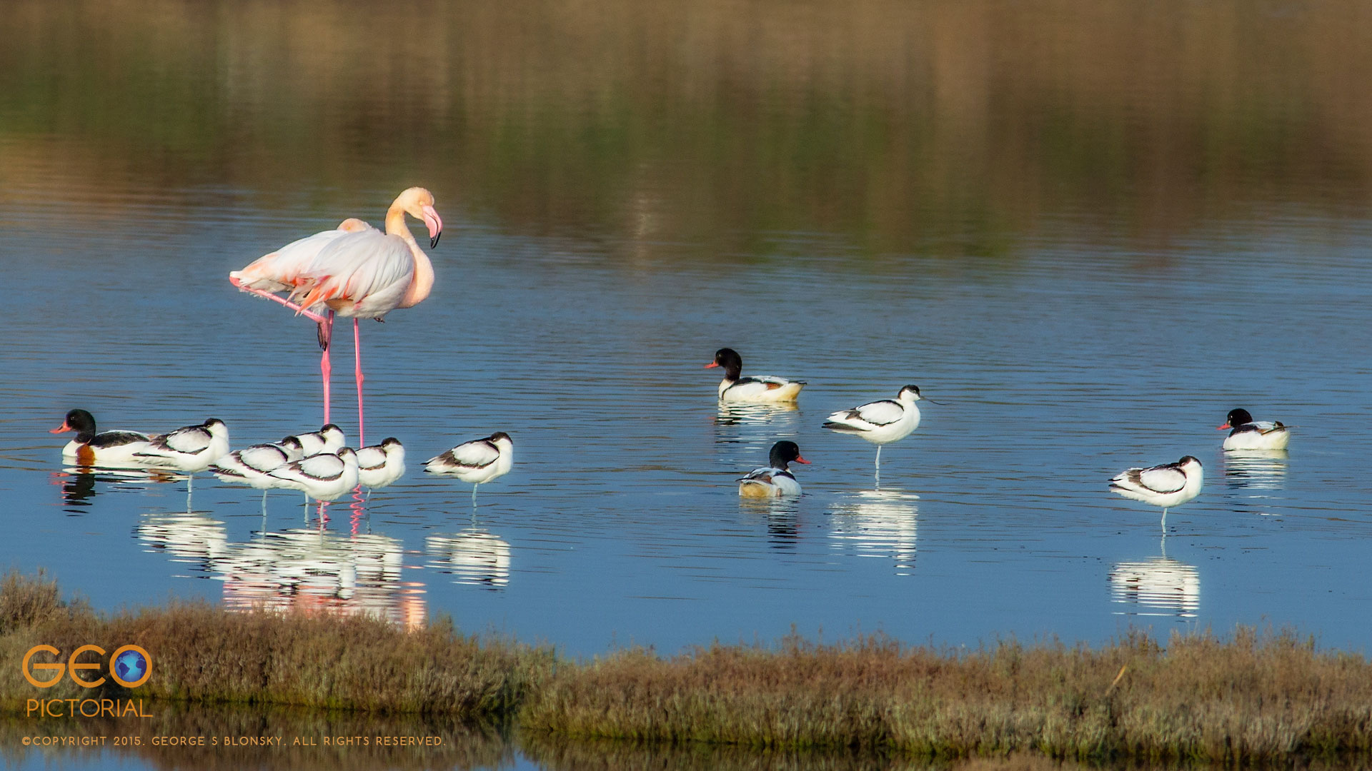 Greater Flamingo (Phoenicopterus roseus) with Shelduck (Tadorna tadorna) and Avocets (Recurvirostra avosetta)