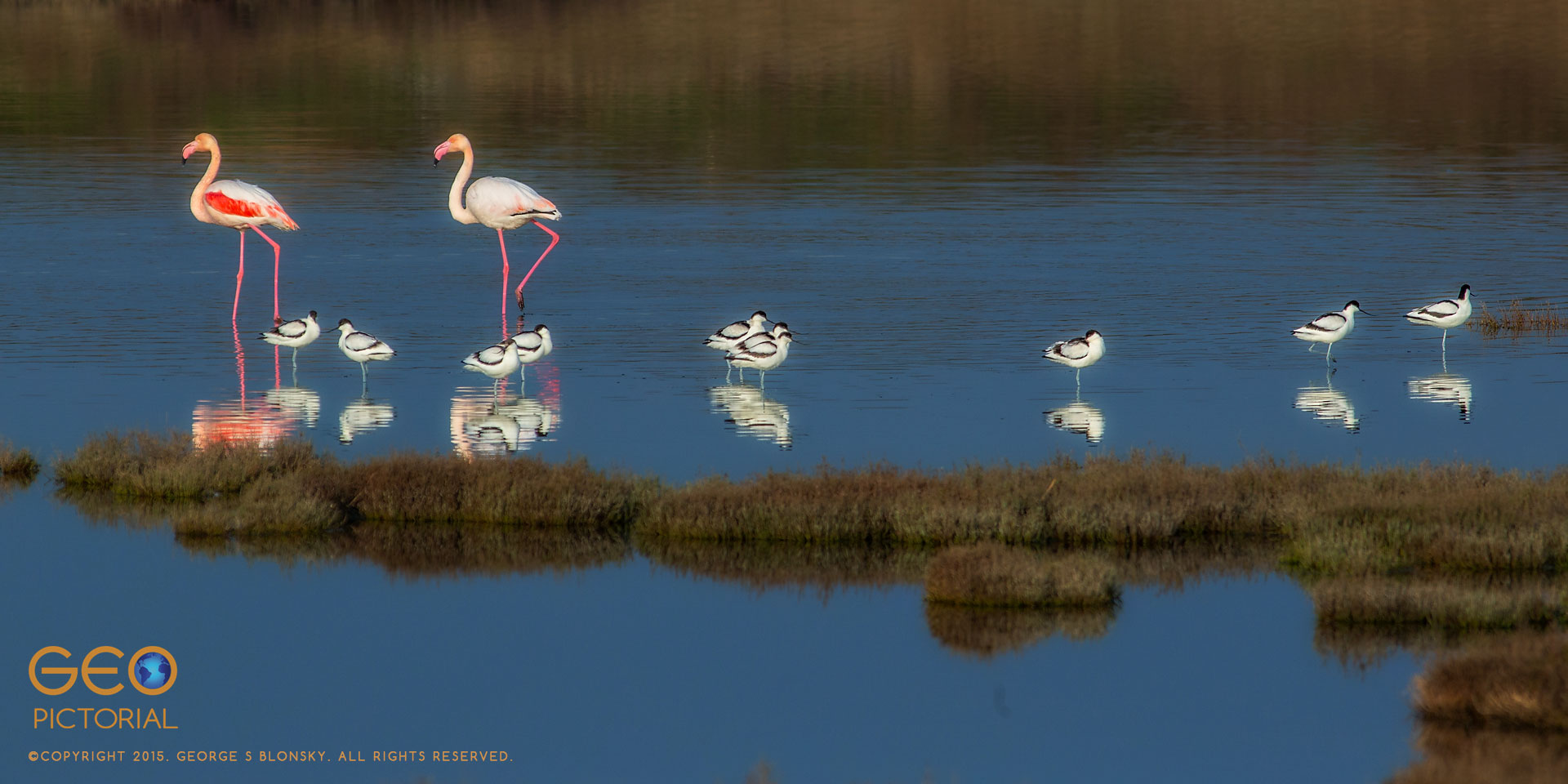 Greater Flamingo (Phoenicopterus roseus) with  Avocets (Recurvirostra avosetta)