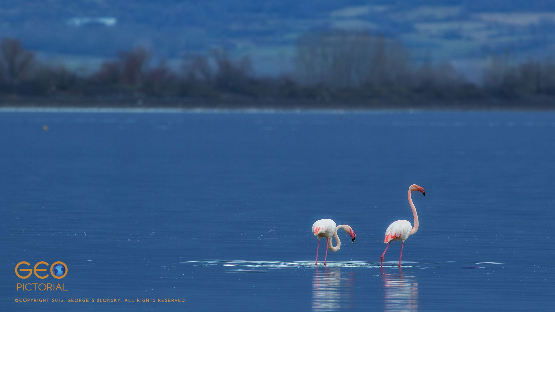 Greater Flamingos (Phoenicopterus roseus).