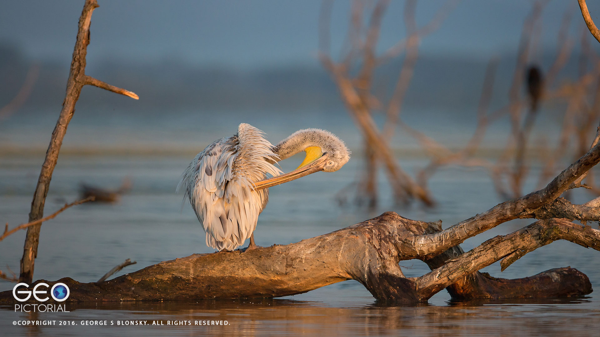 Juvenile Dalmatian Pelican preening