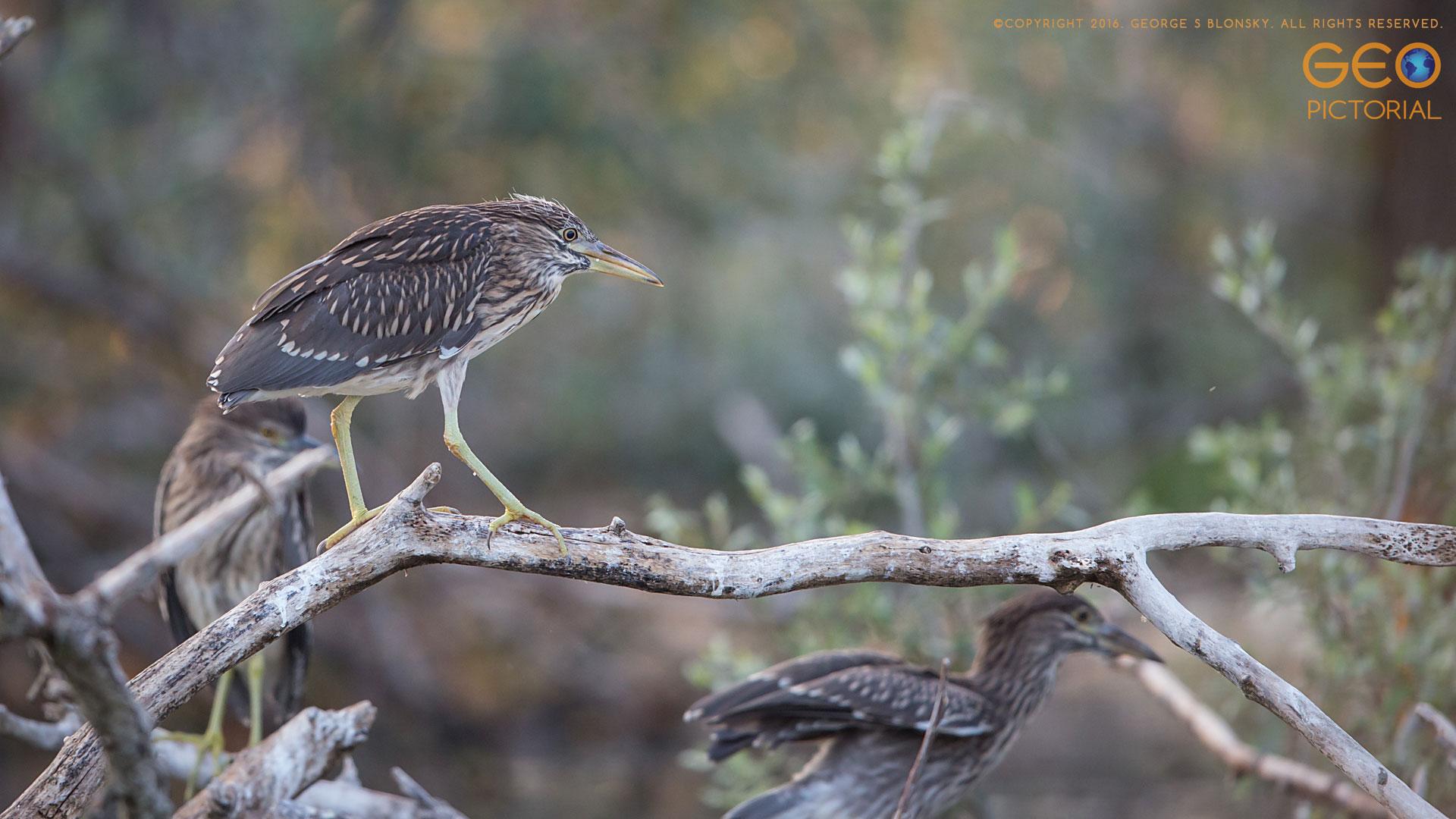 Juvenile Black-capped Night Heron