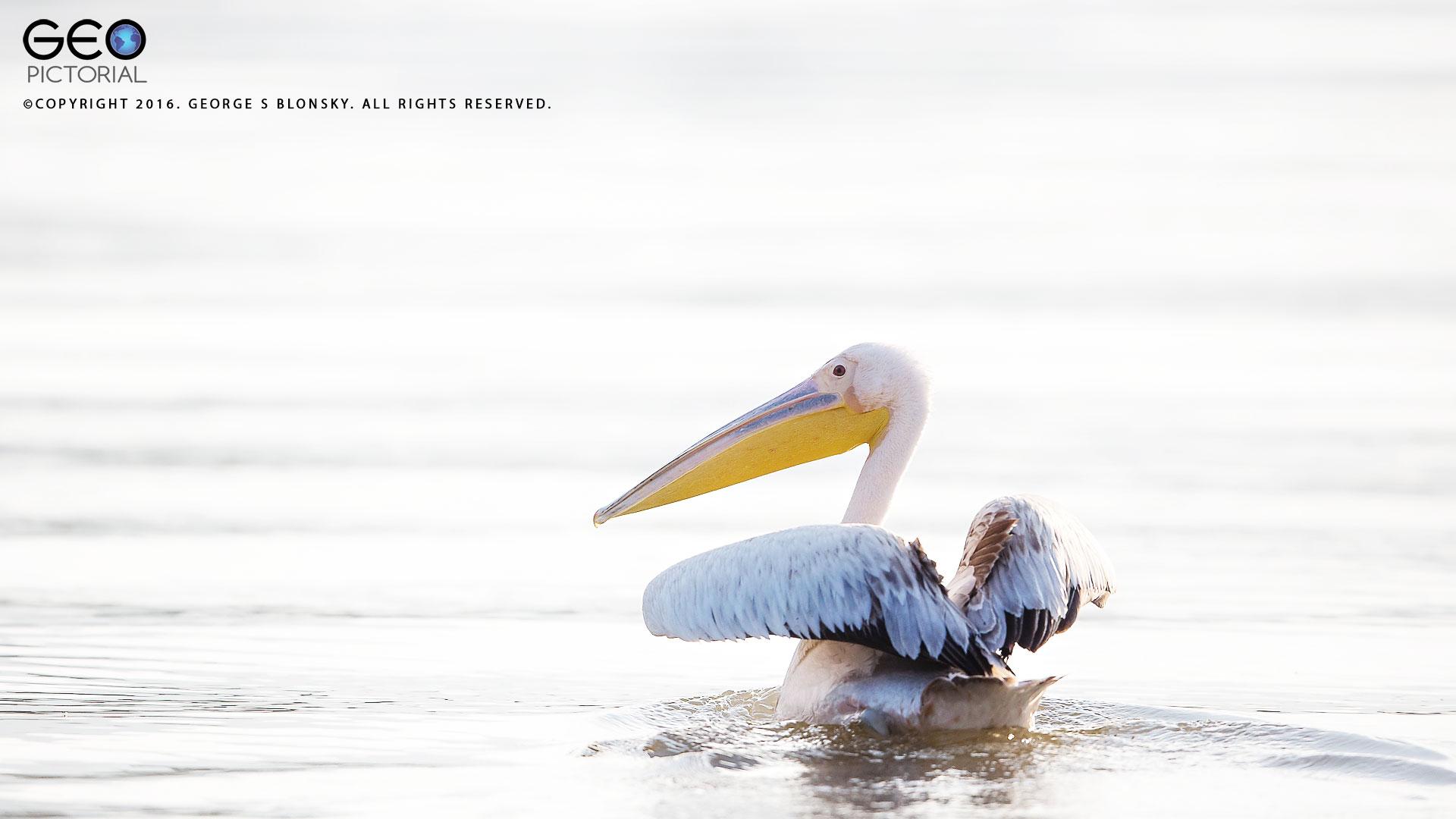 Juvenile White Pelican