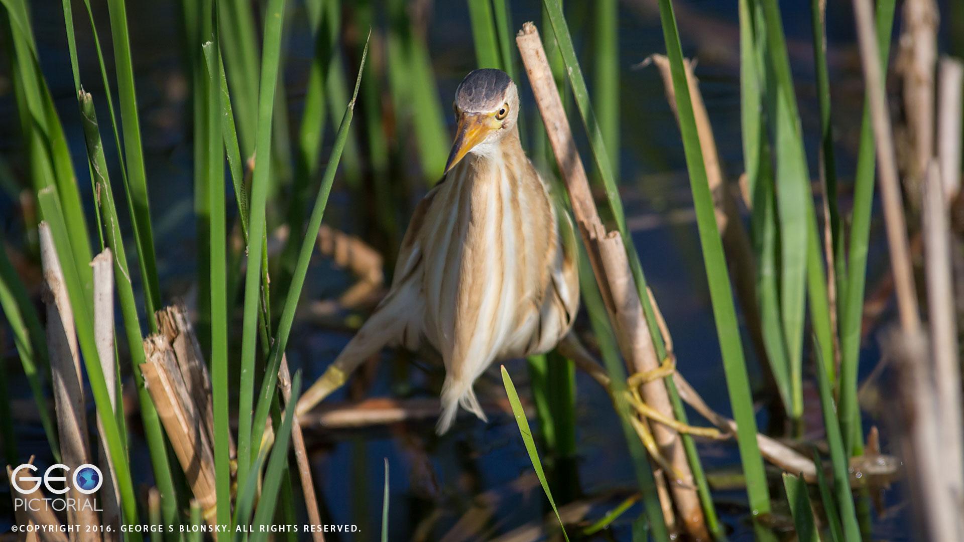 Little Bittern stalking through the reed beds of Lake Kerkini