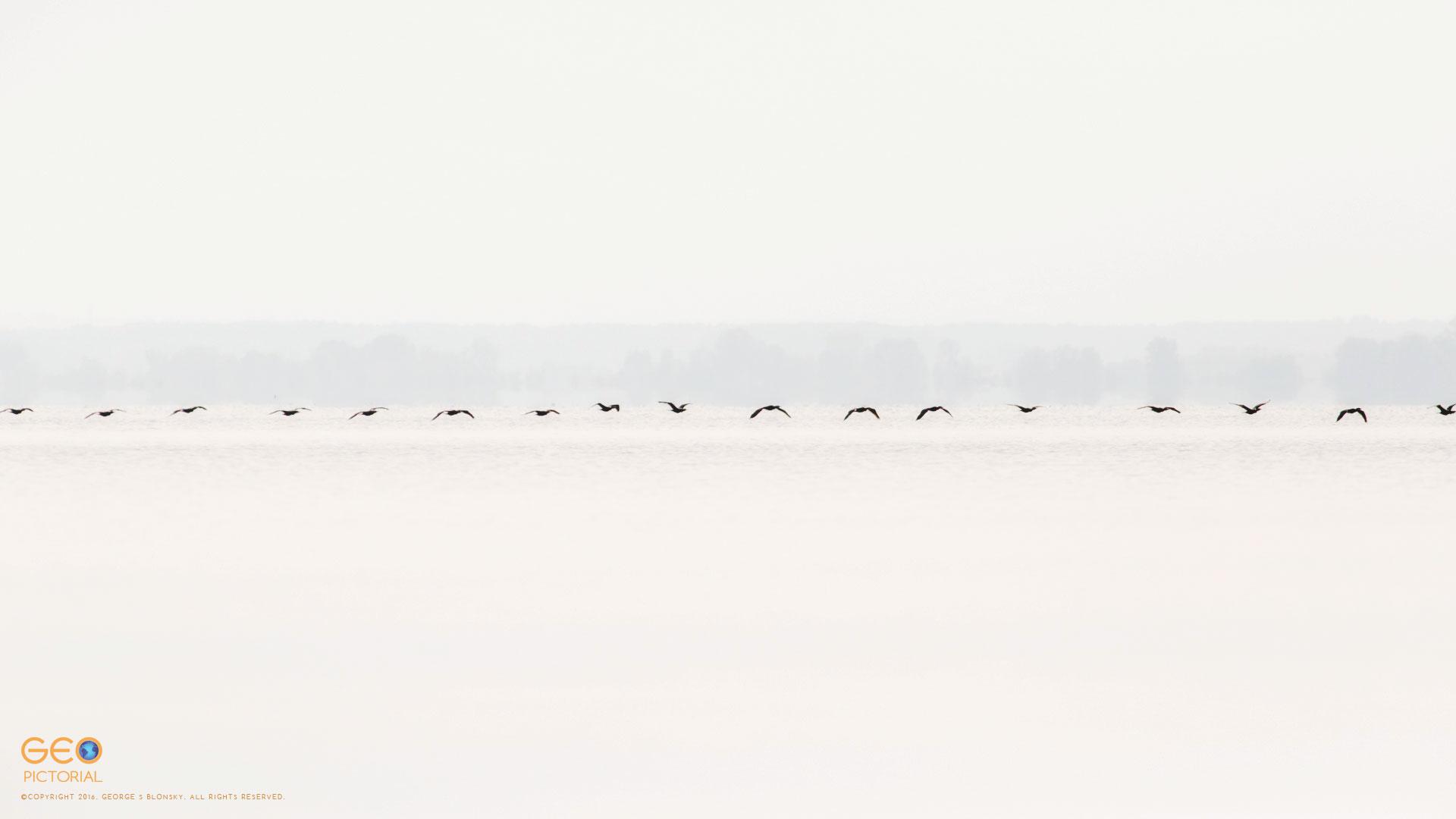 Cormorants in flight low over Lake Kerkini in the early morning sunlight