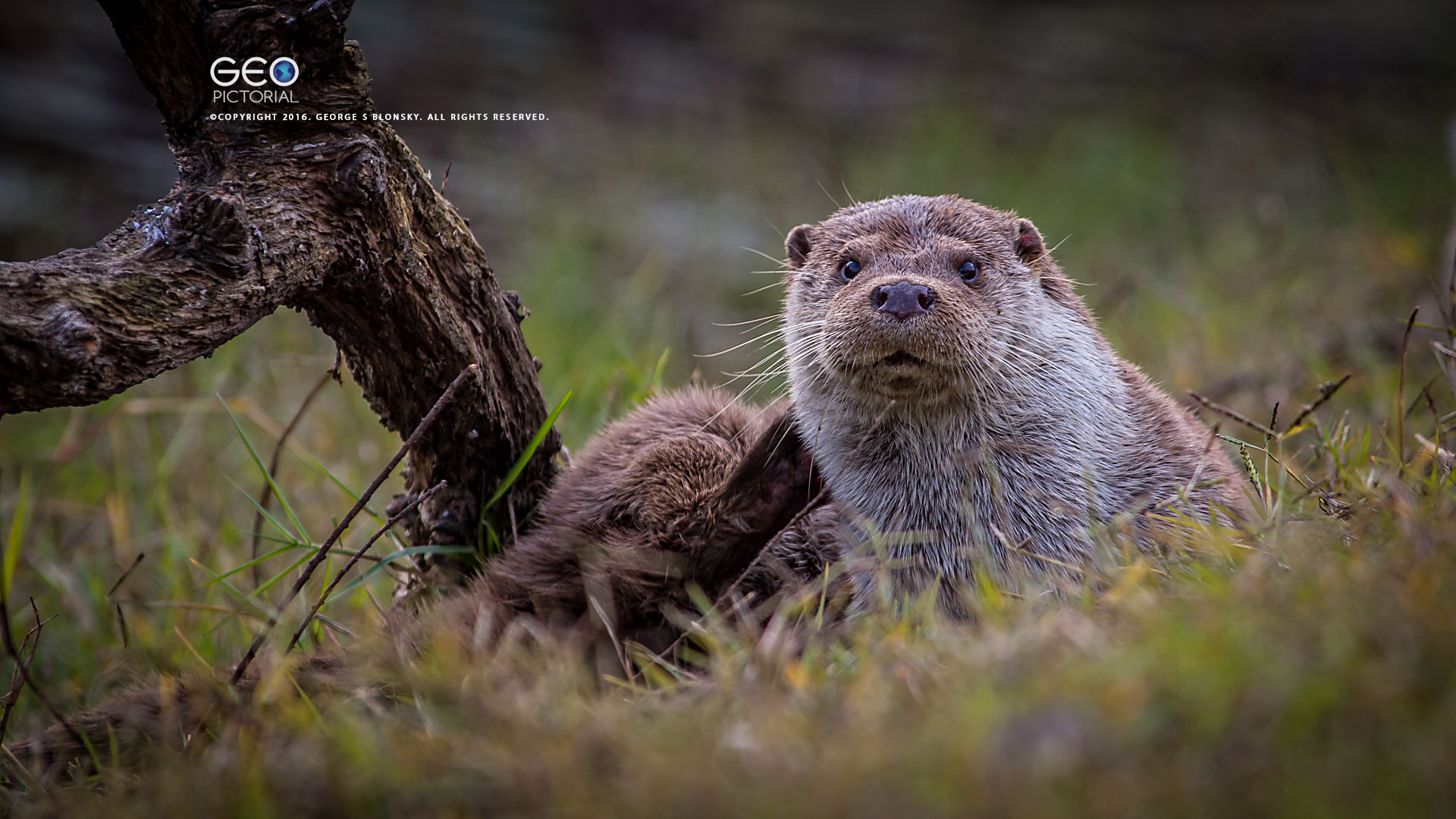 otter photographed during one our winter wildlife & bird photography tours of Lake Kerkini