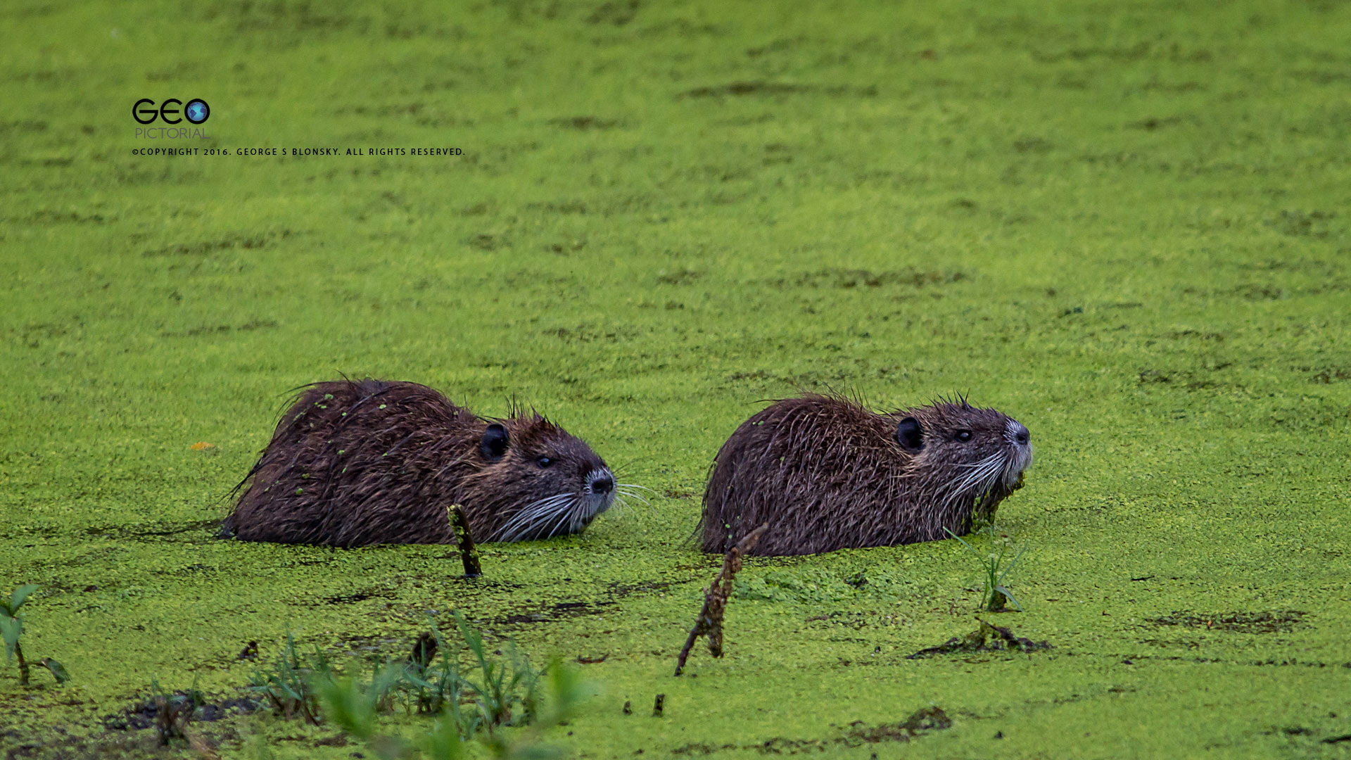 COYPU PHOTOGRAPHED DURING OUR BABY ANIMALS WILDLIFE PHOTOGRAPHY SUMMER WORKSHOP