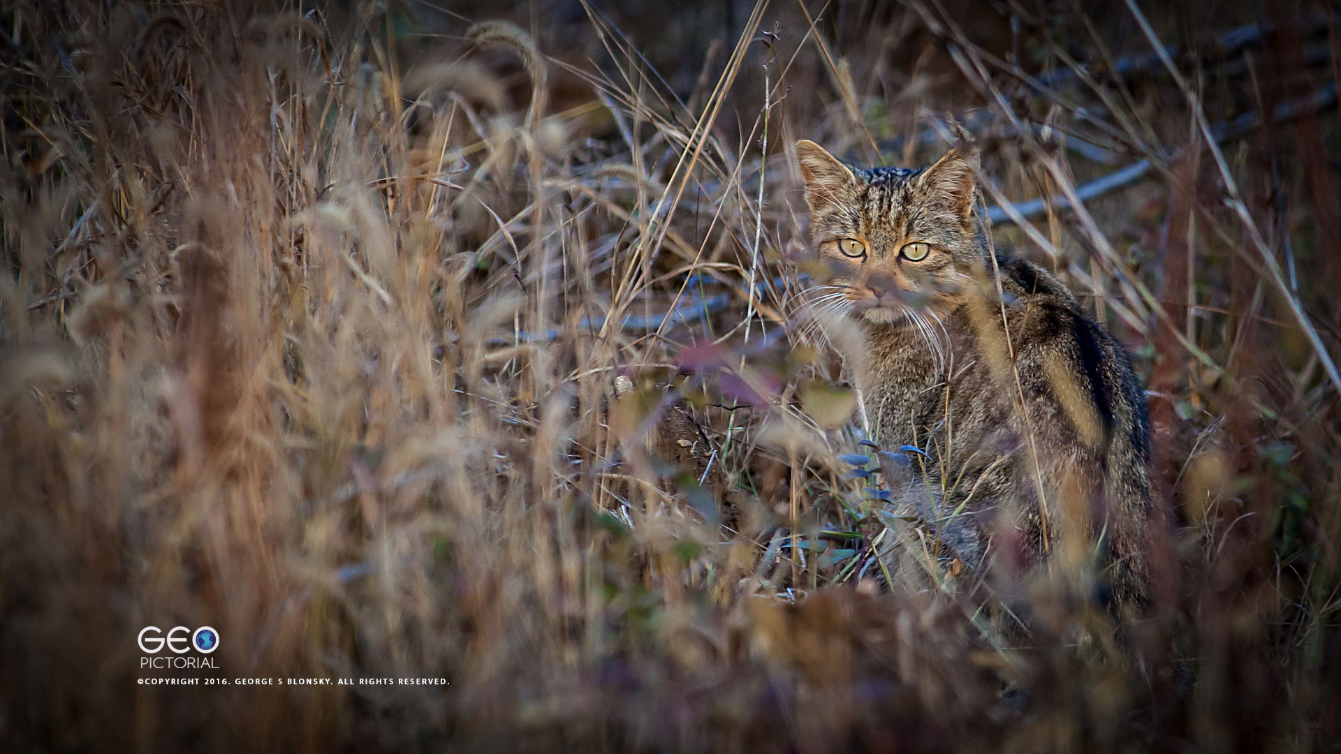 WILD CAT PHOTOGRAPHED DURING ONE OF OUR WINTER WILDLIFE PHOTOGRAPHY WORKSHOPS AT LAKE KERKINI