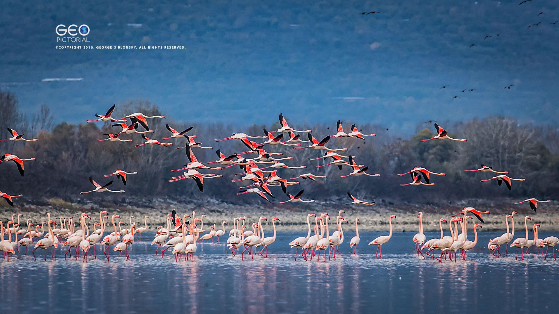 FLAMINGOS AT DAWN photographed during our5 day WINTER wildlife & bird photography workshop at Lake Kerkini