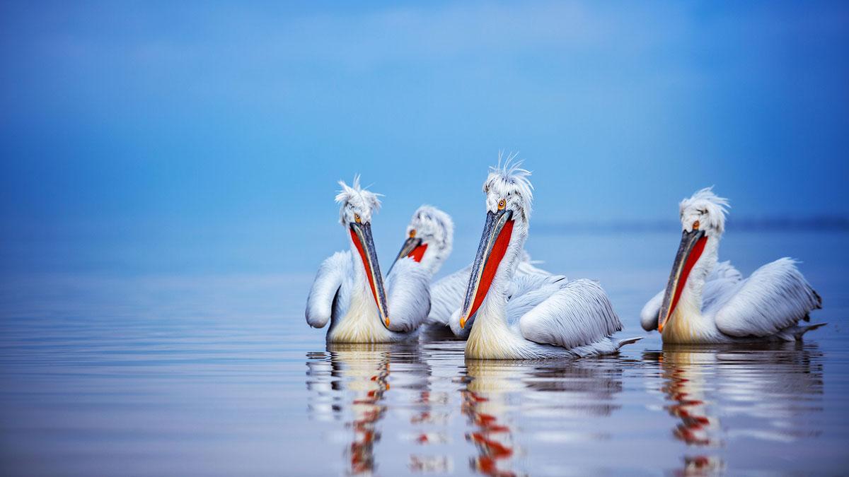 Pelicans2425.jpg