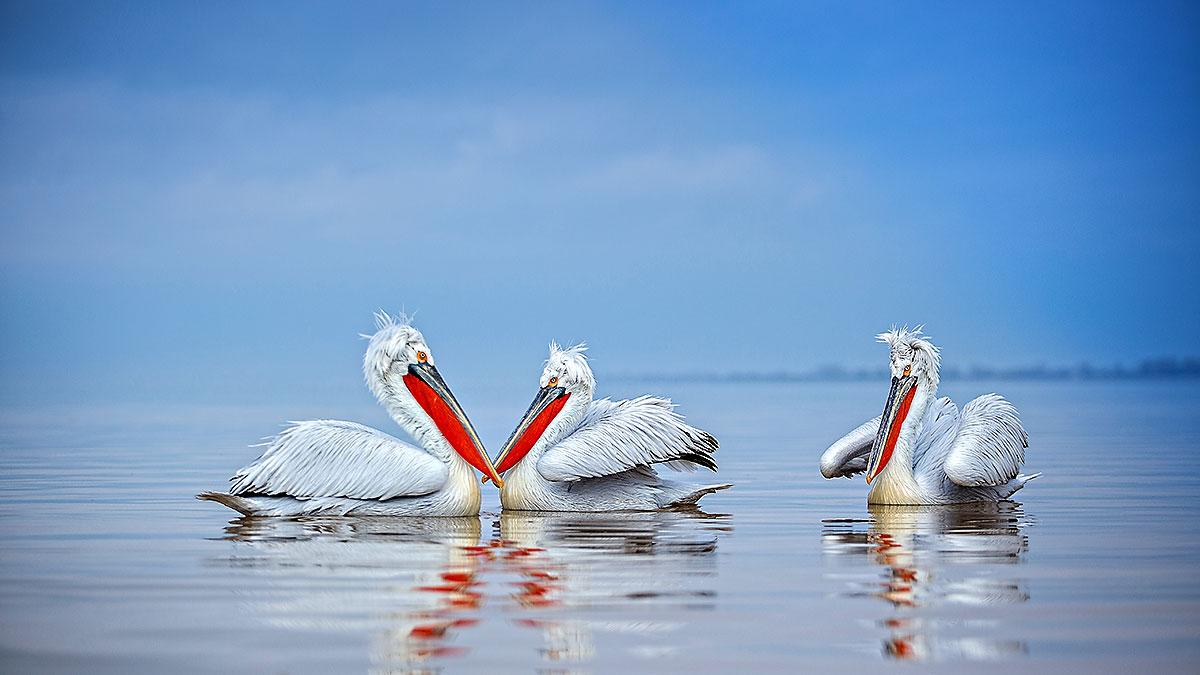 Pelicans2414.jpg