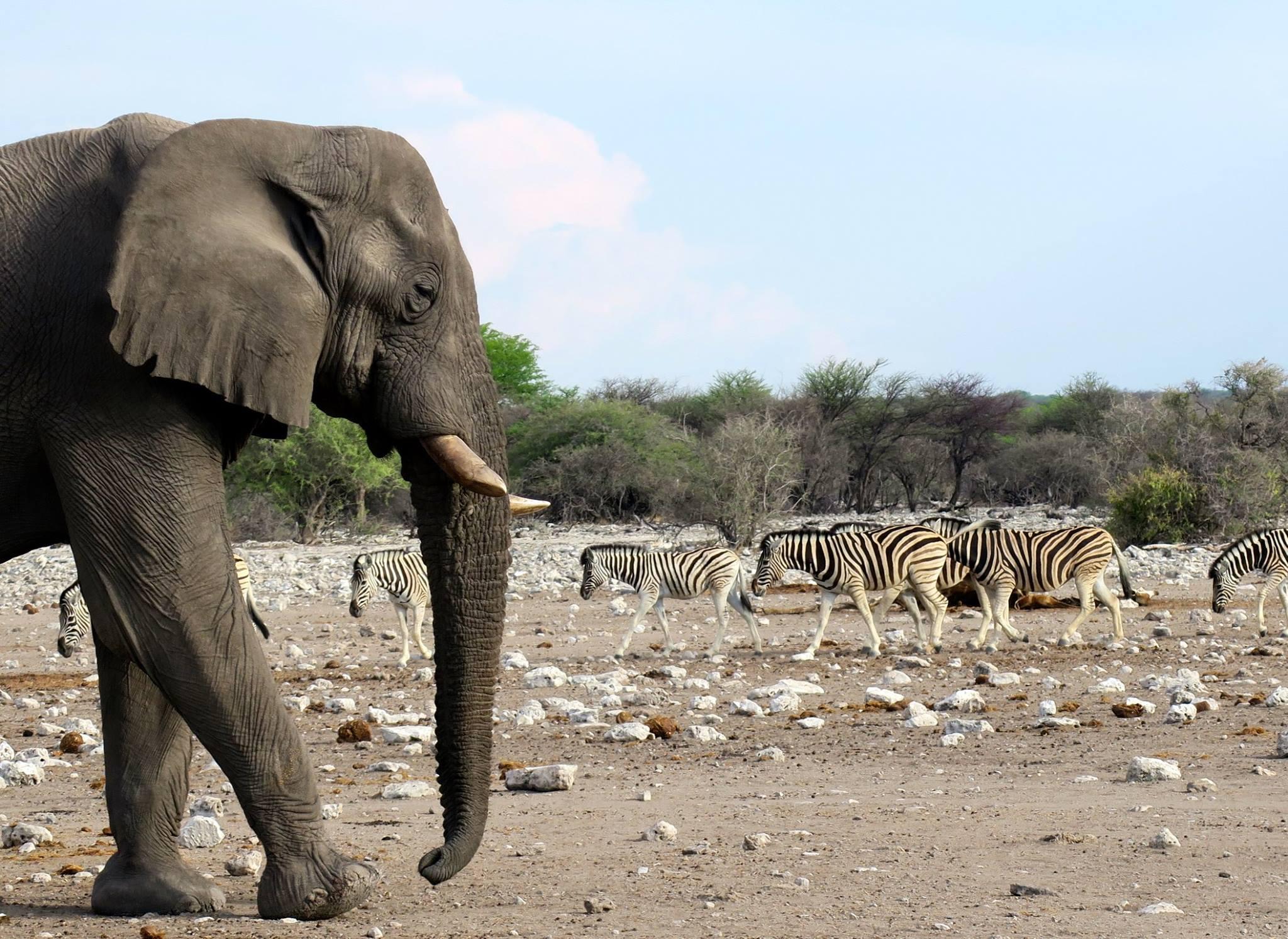 象の登場に水場を譲るシマウマ
