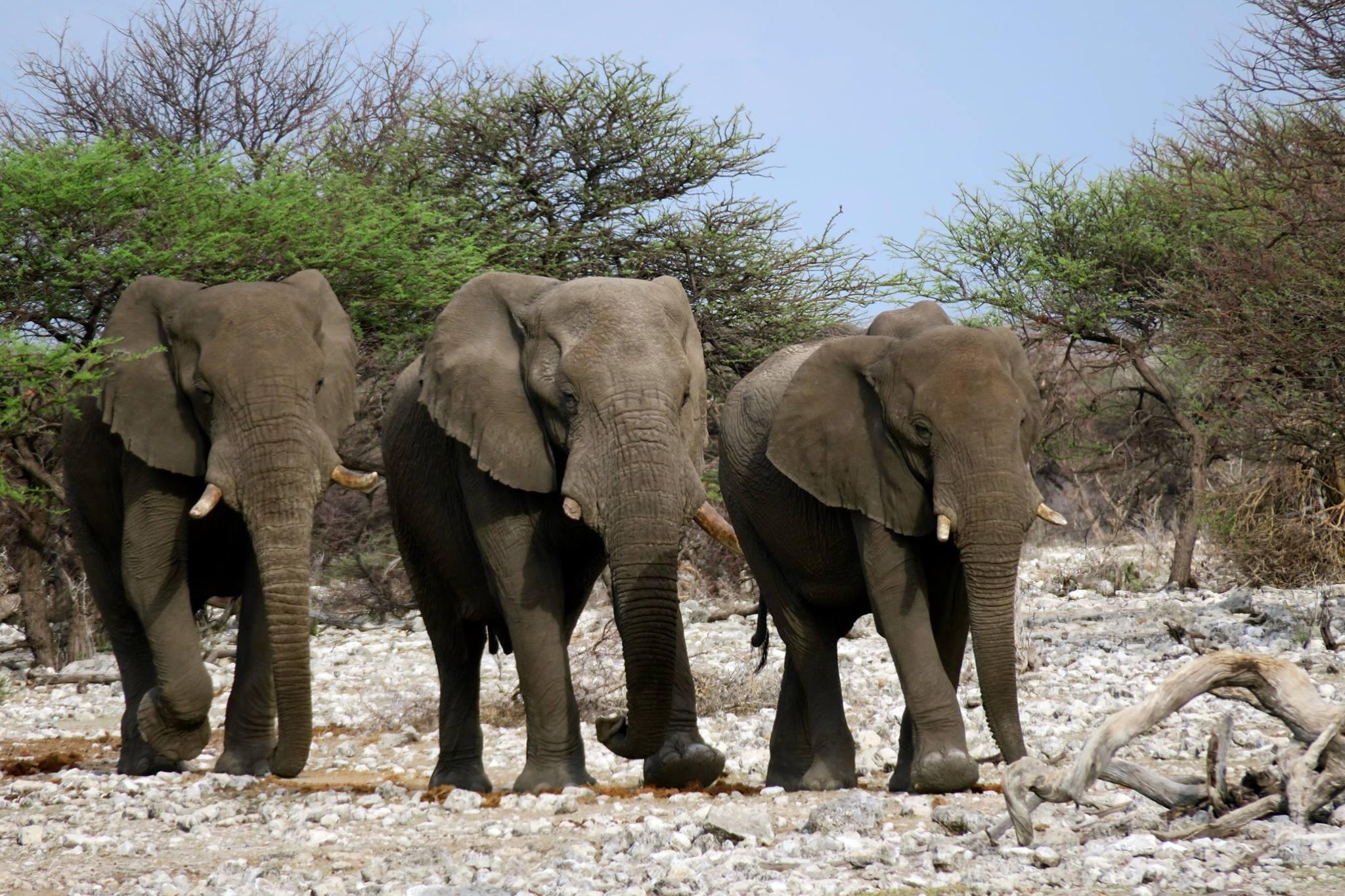 水飲み場に集まるオス象たち
