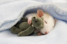sleepy rat.jpg