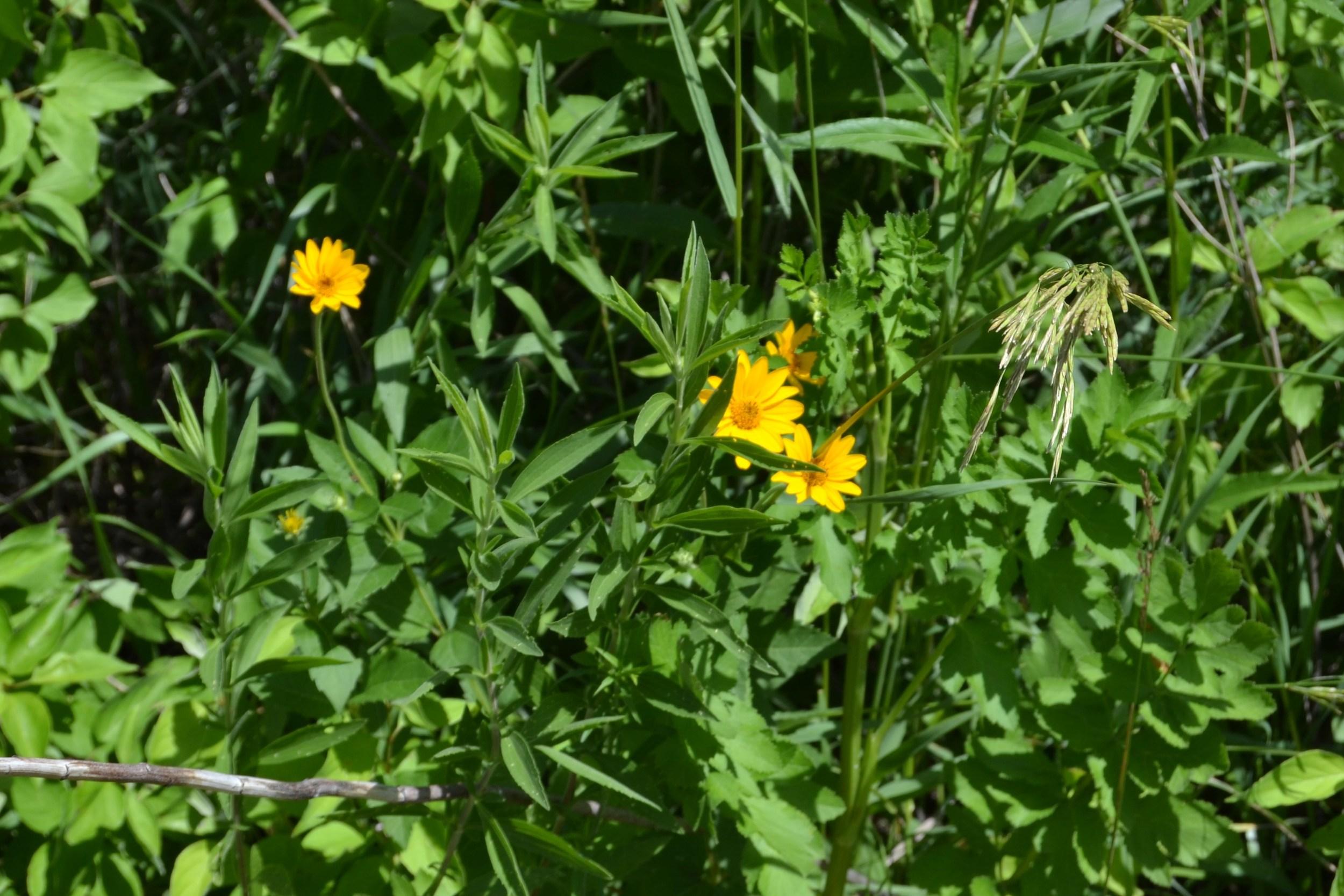 Oxeye Sunflower