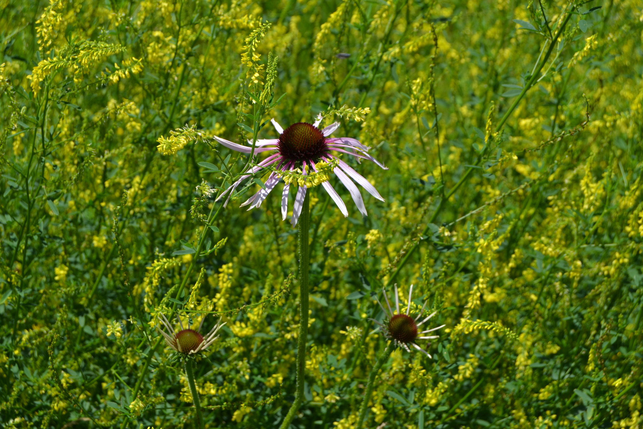 Pale Purple Coneflower and Showy Goldenrod