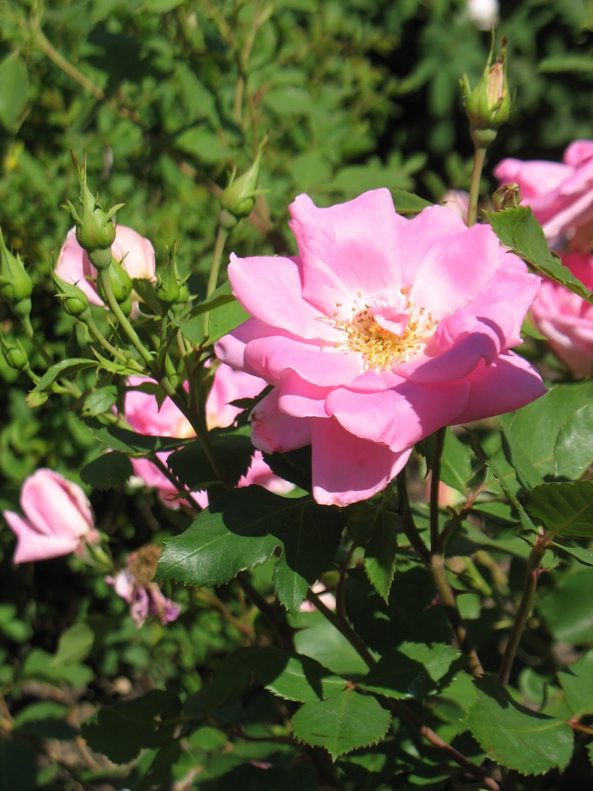 Iowa Wild Rose