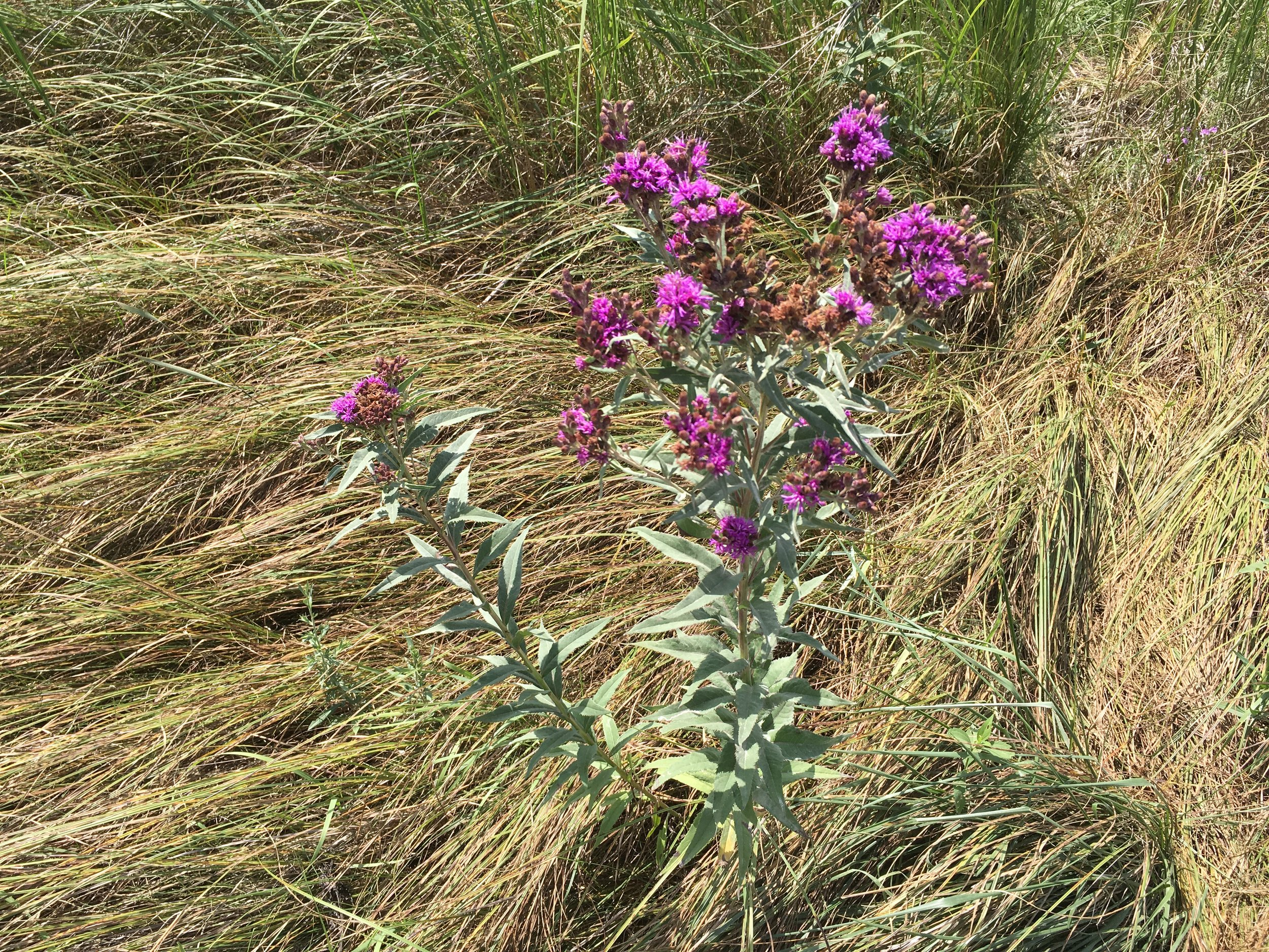 I need some of this Ironweed for my backyard.  It's a native perennial that is a nectar plant for adult pollinators.