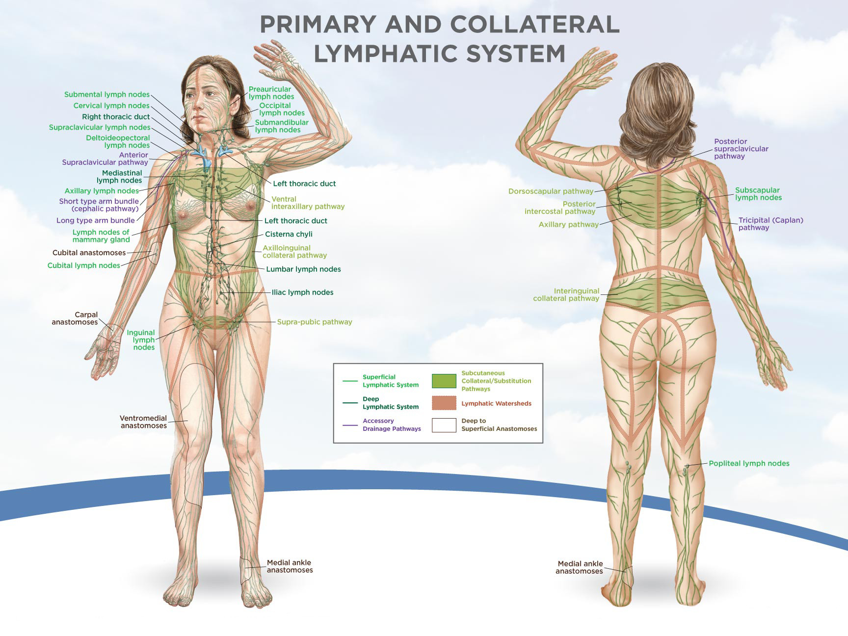 This photo shows the direction of our lymph system, which we are to dry brush in this direction.