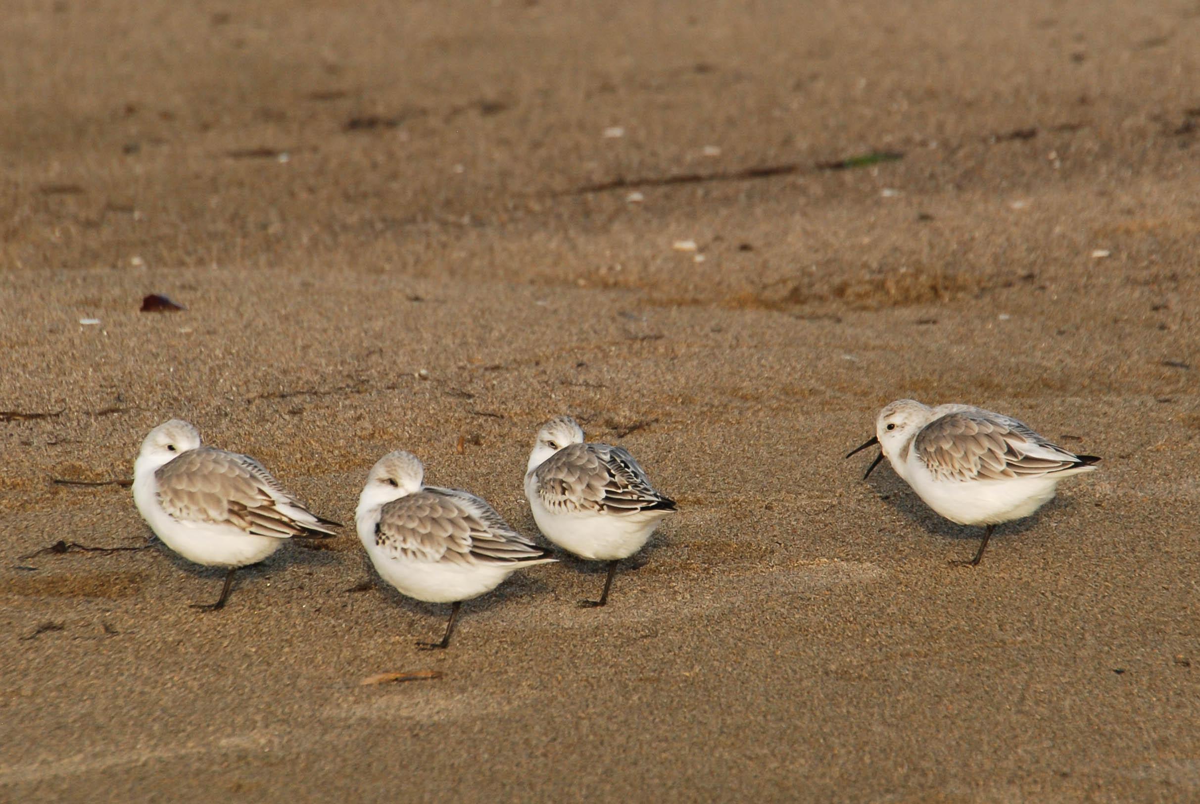 four little shore birds.jpg