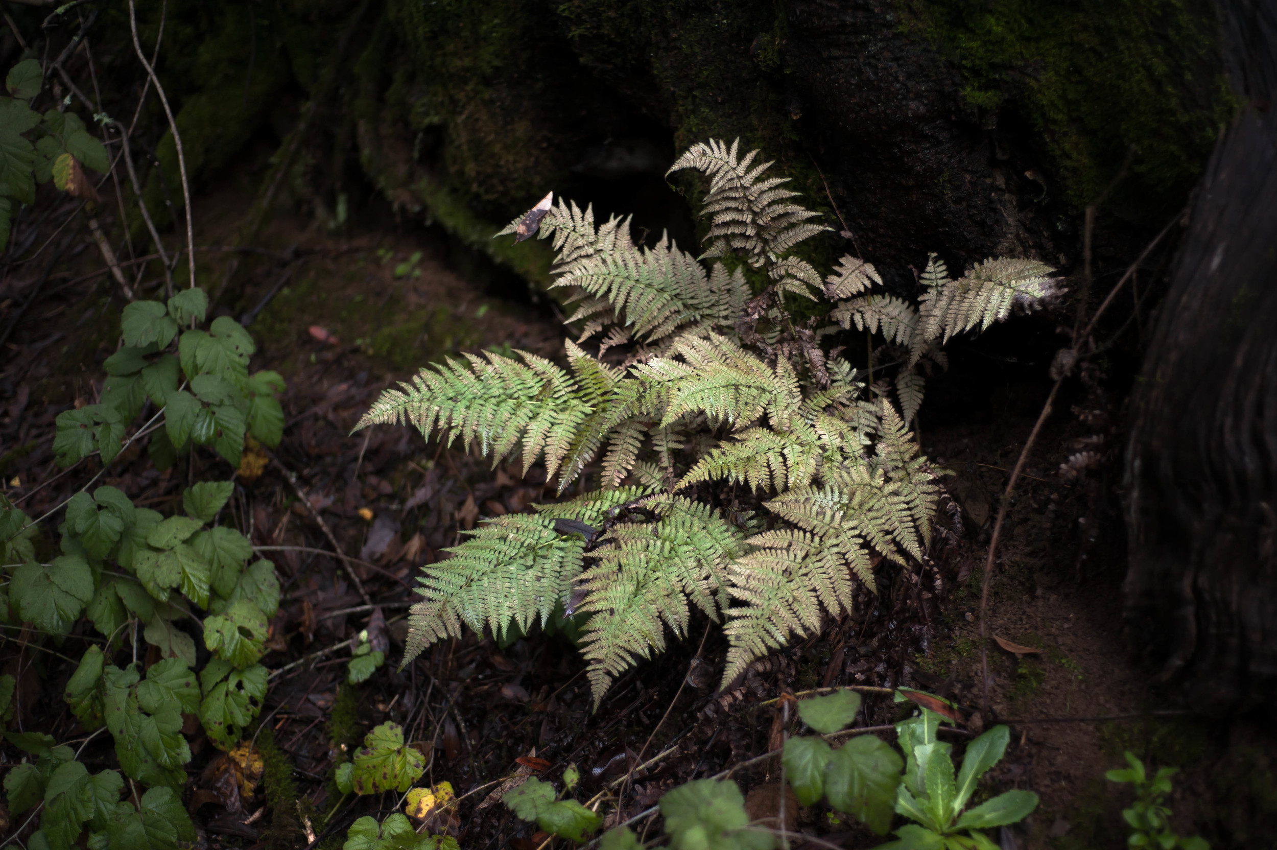 ghost fern.jpg