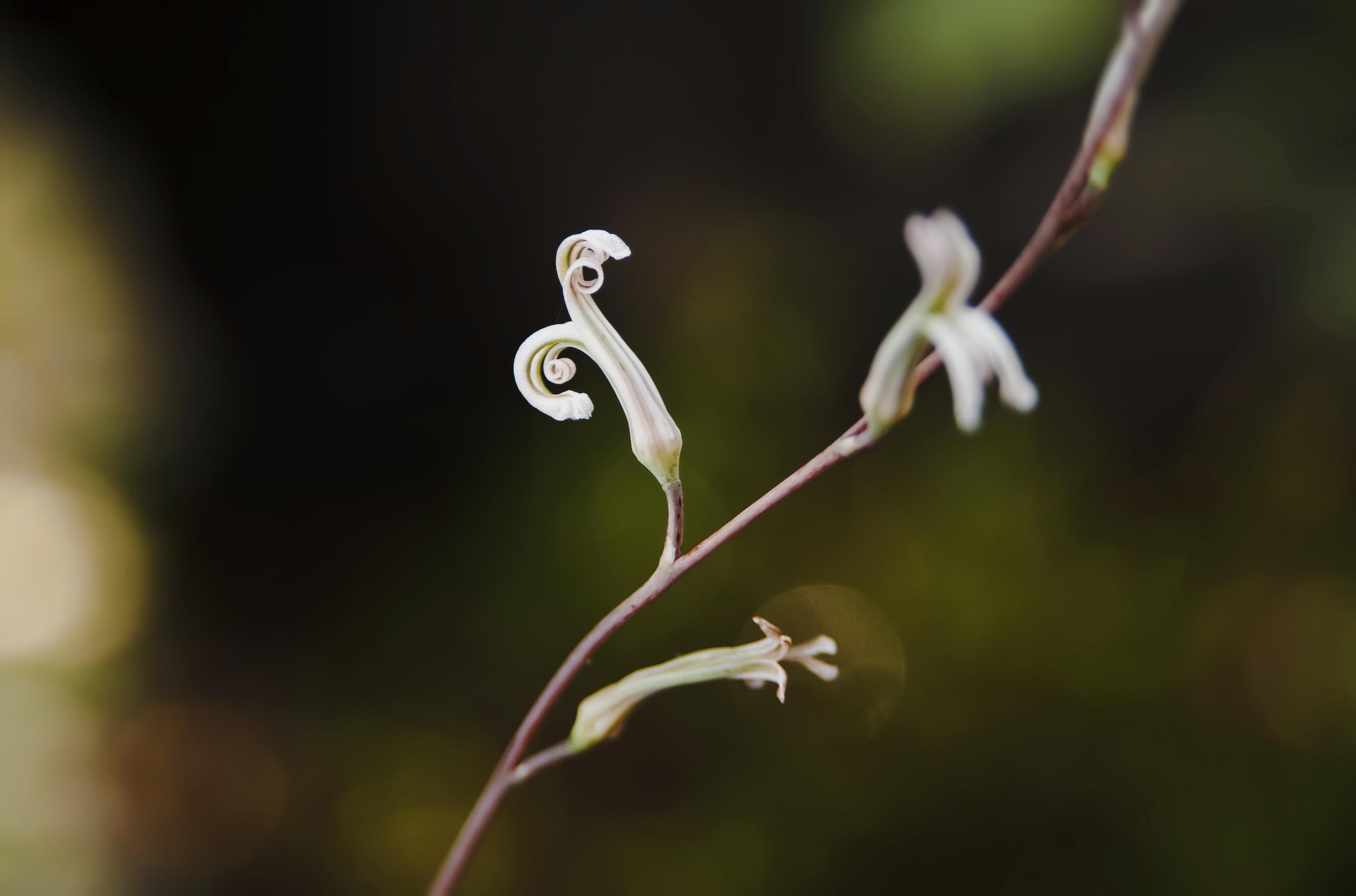 haworthia flower 2.jpg