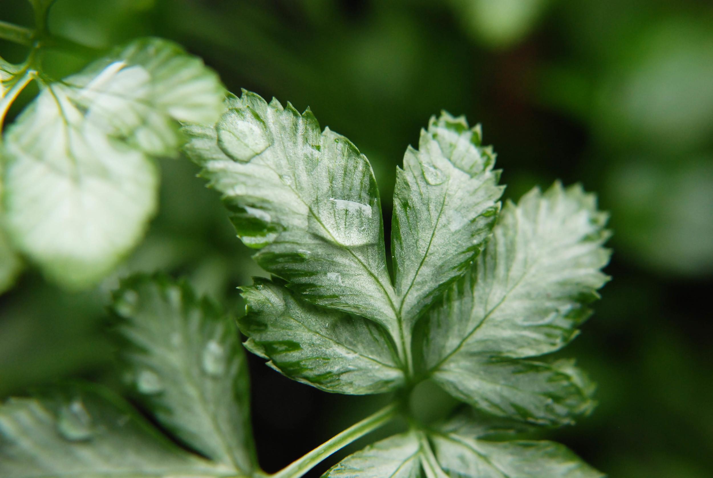 silver pteris fern macro.jpg
