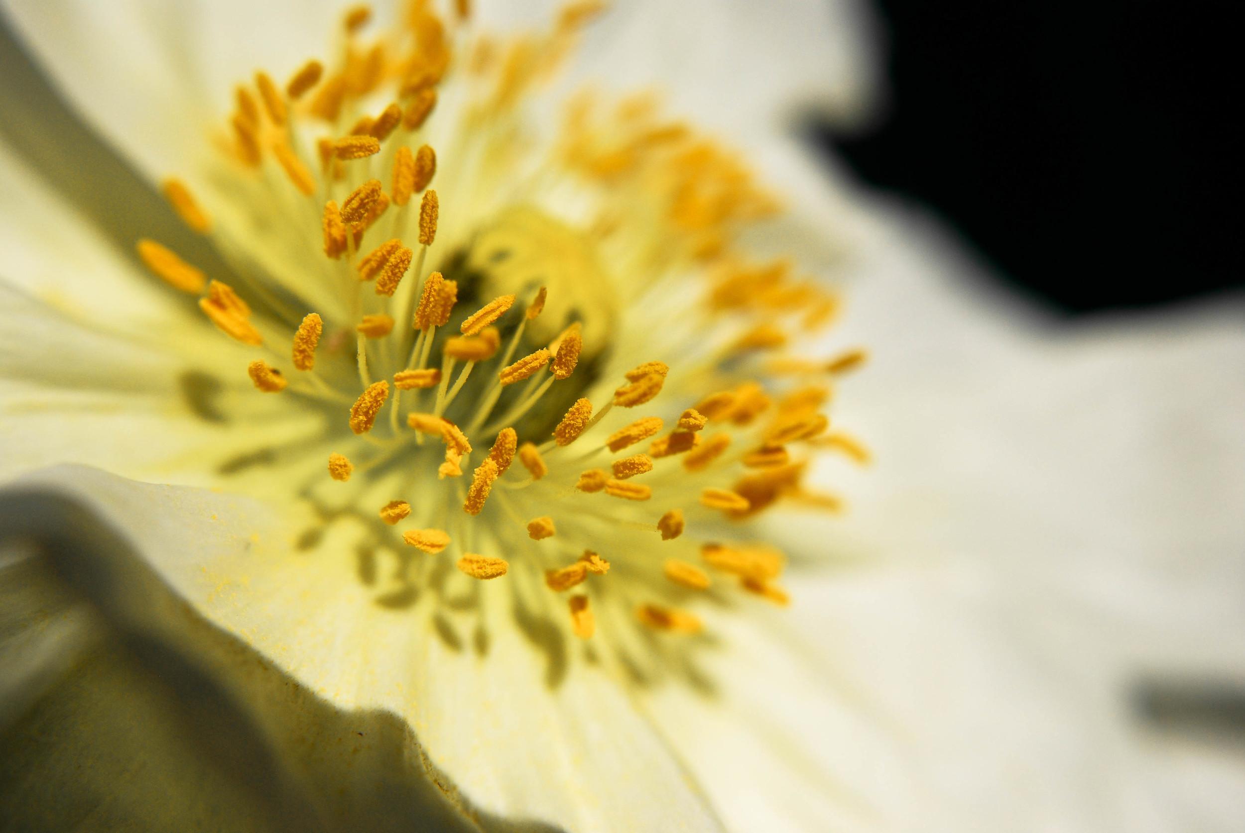 white poppy.jpg