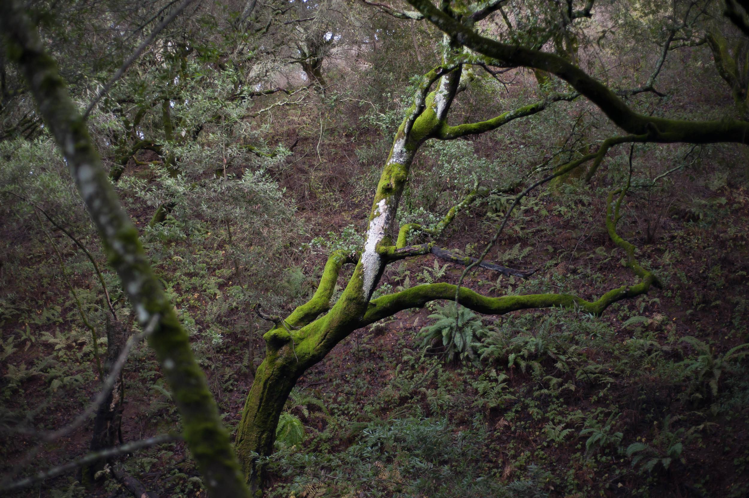 writhing oak.jpg