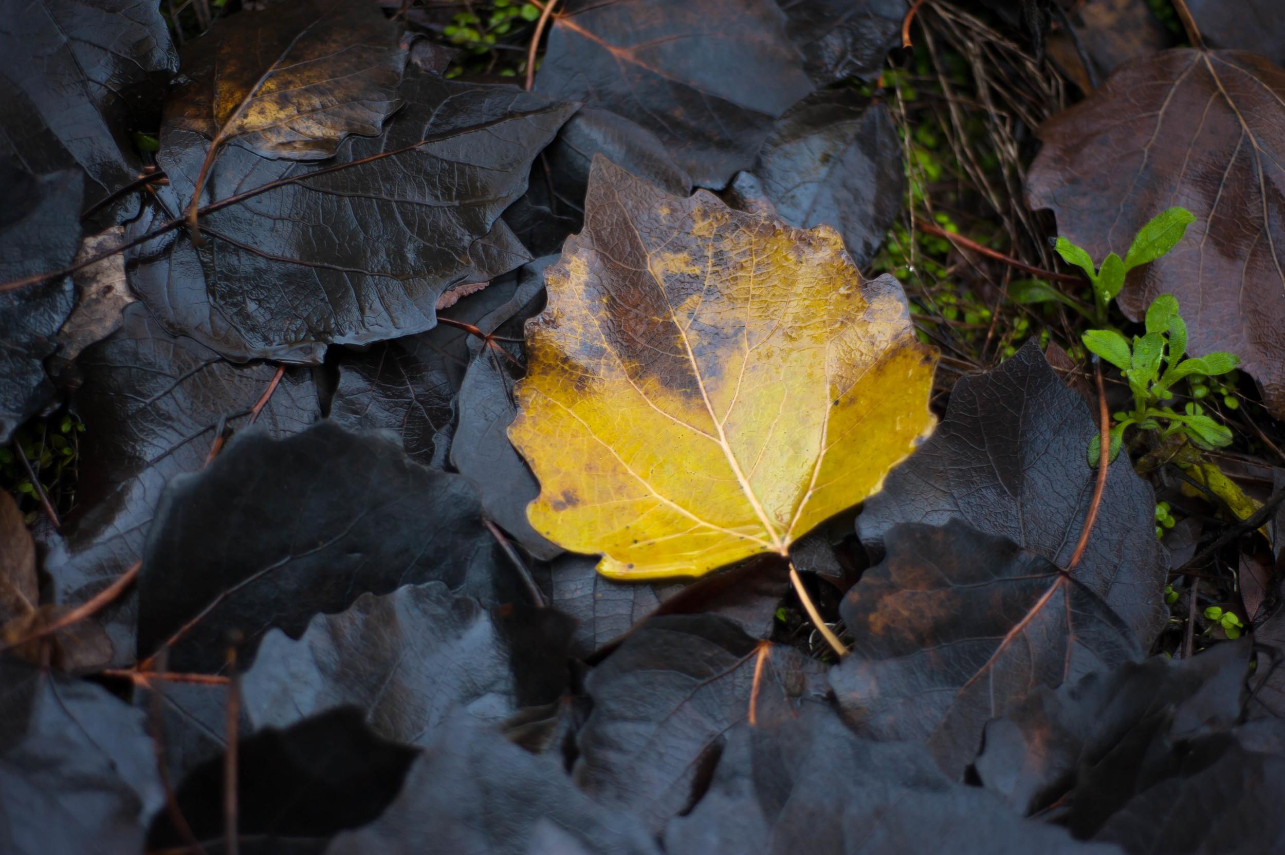 yellow & black leaves 3.jpg