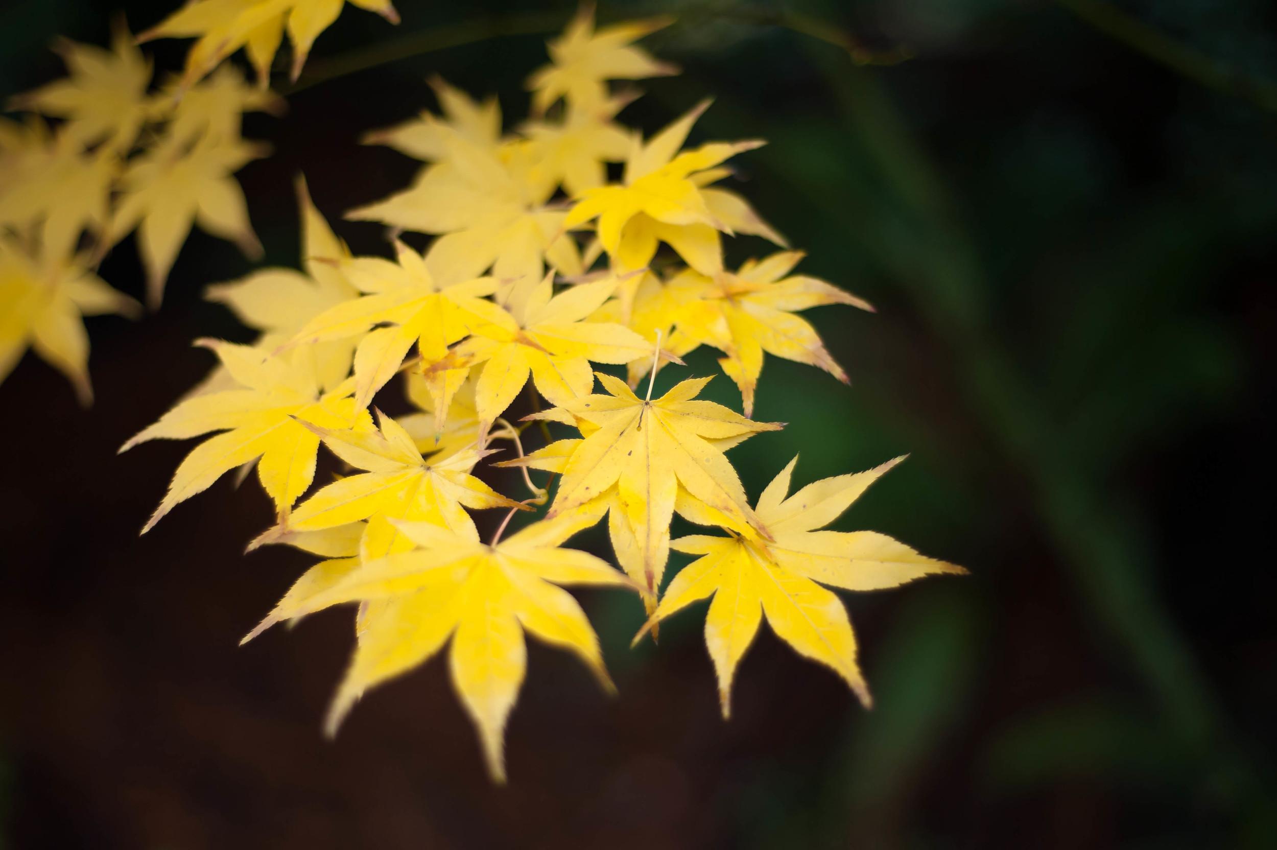 yellow japanese maple.jpg