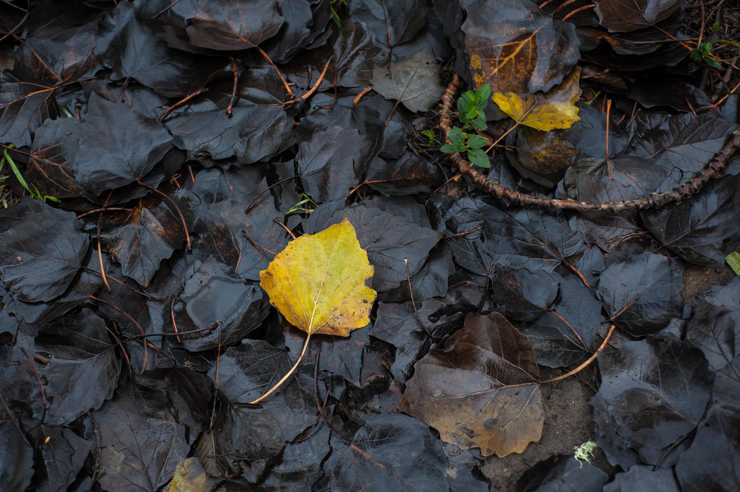 yellow & black leaves 5.jpg