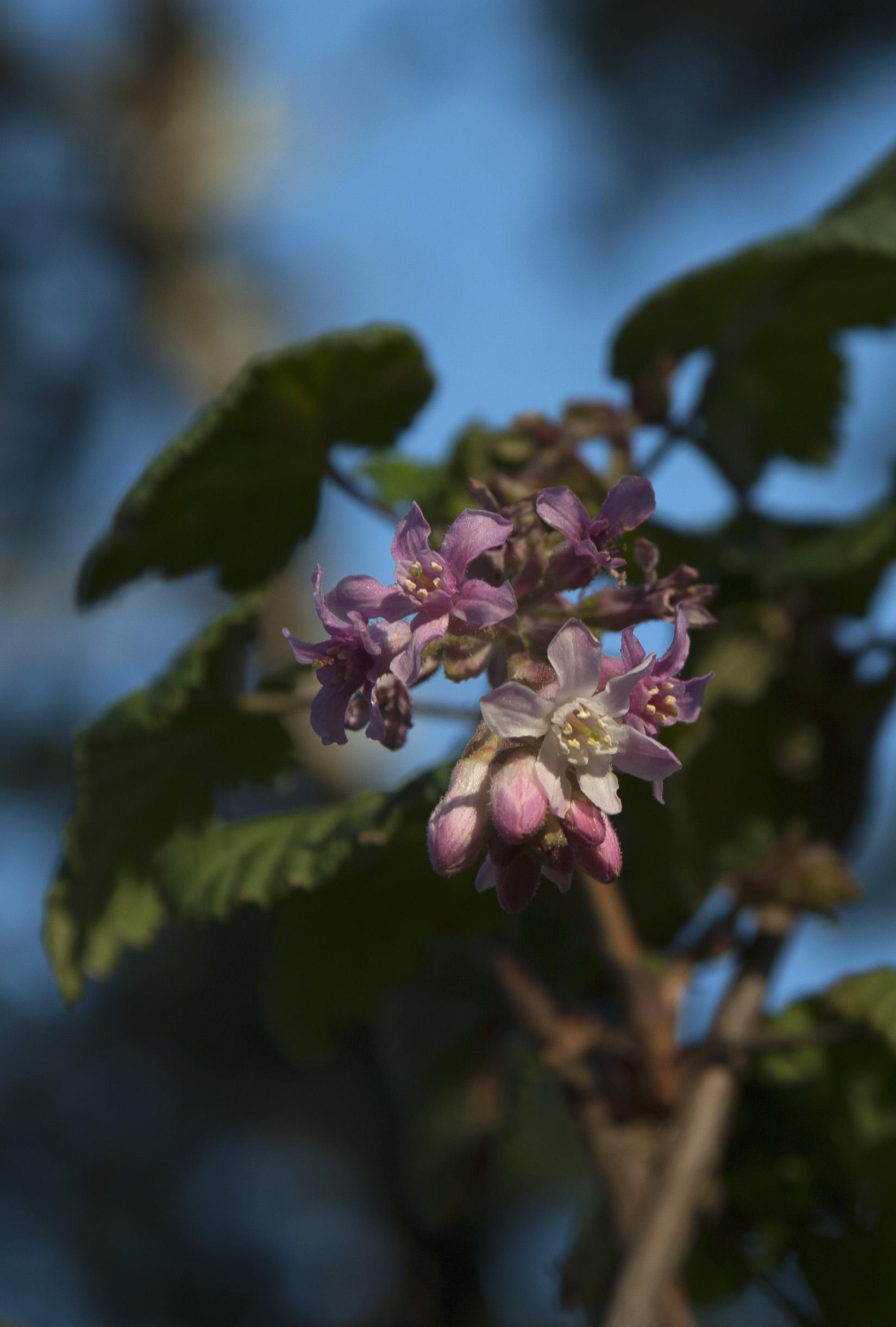 flowering currant 2.jpg