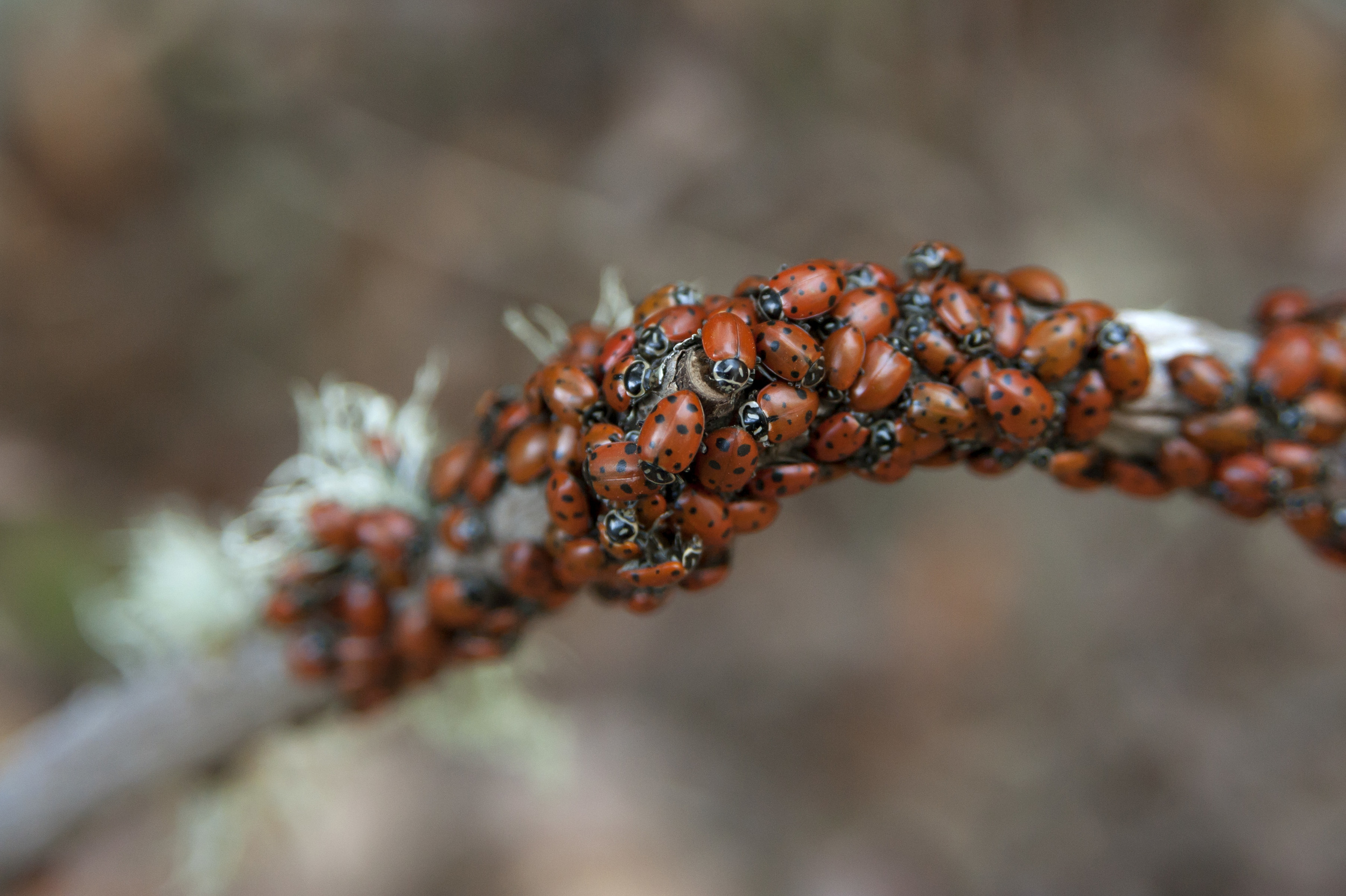 ladybugs 5.jpg