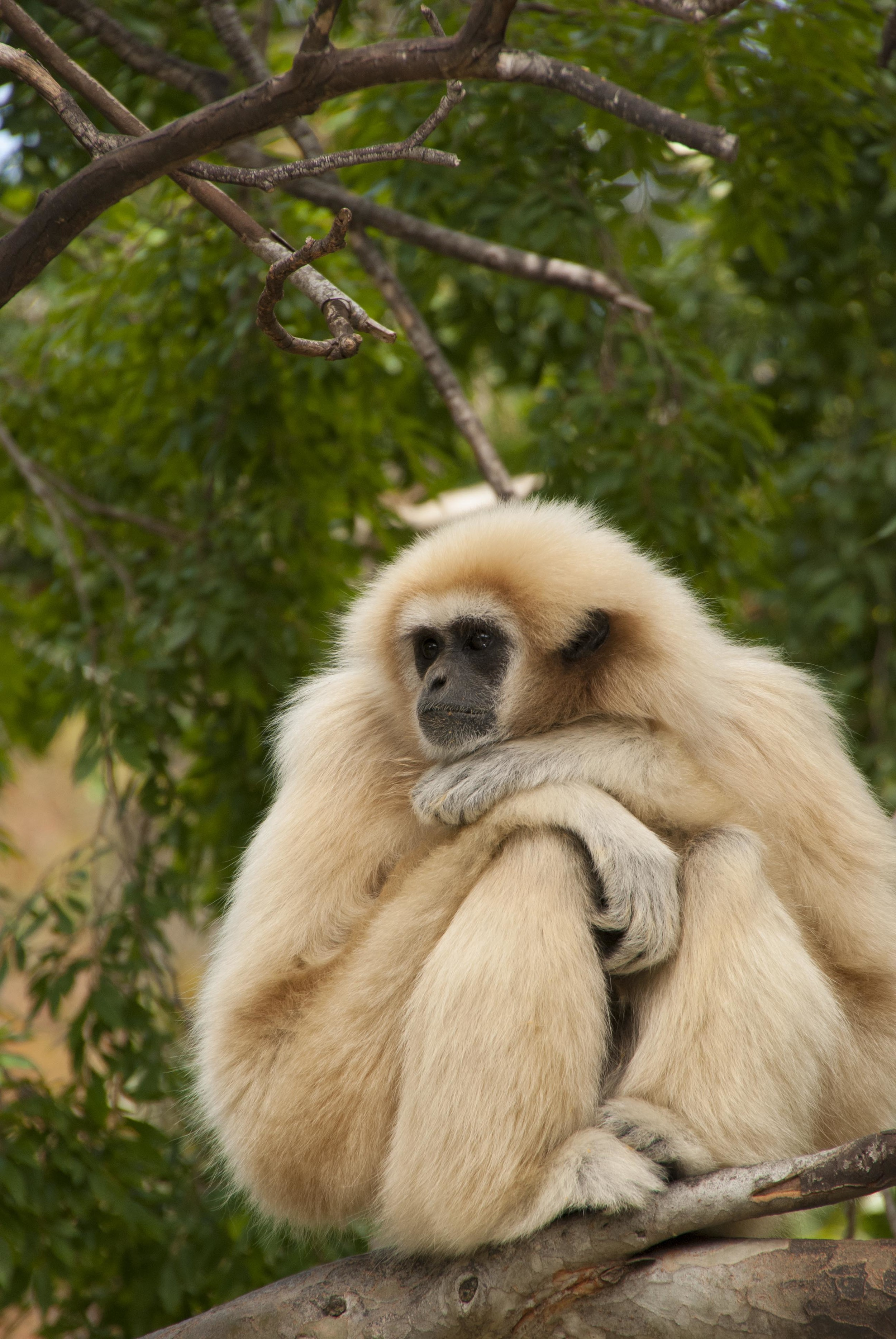 gibbon looking sad.jpg