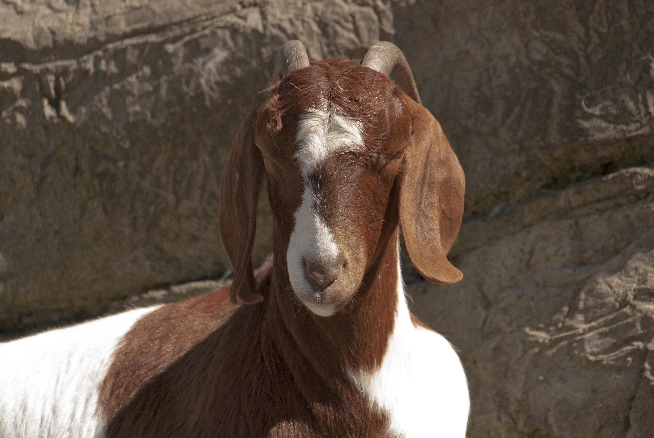 goat sunbathing.jpg
